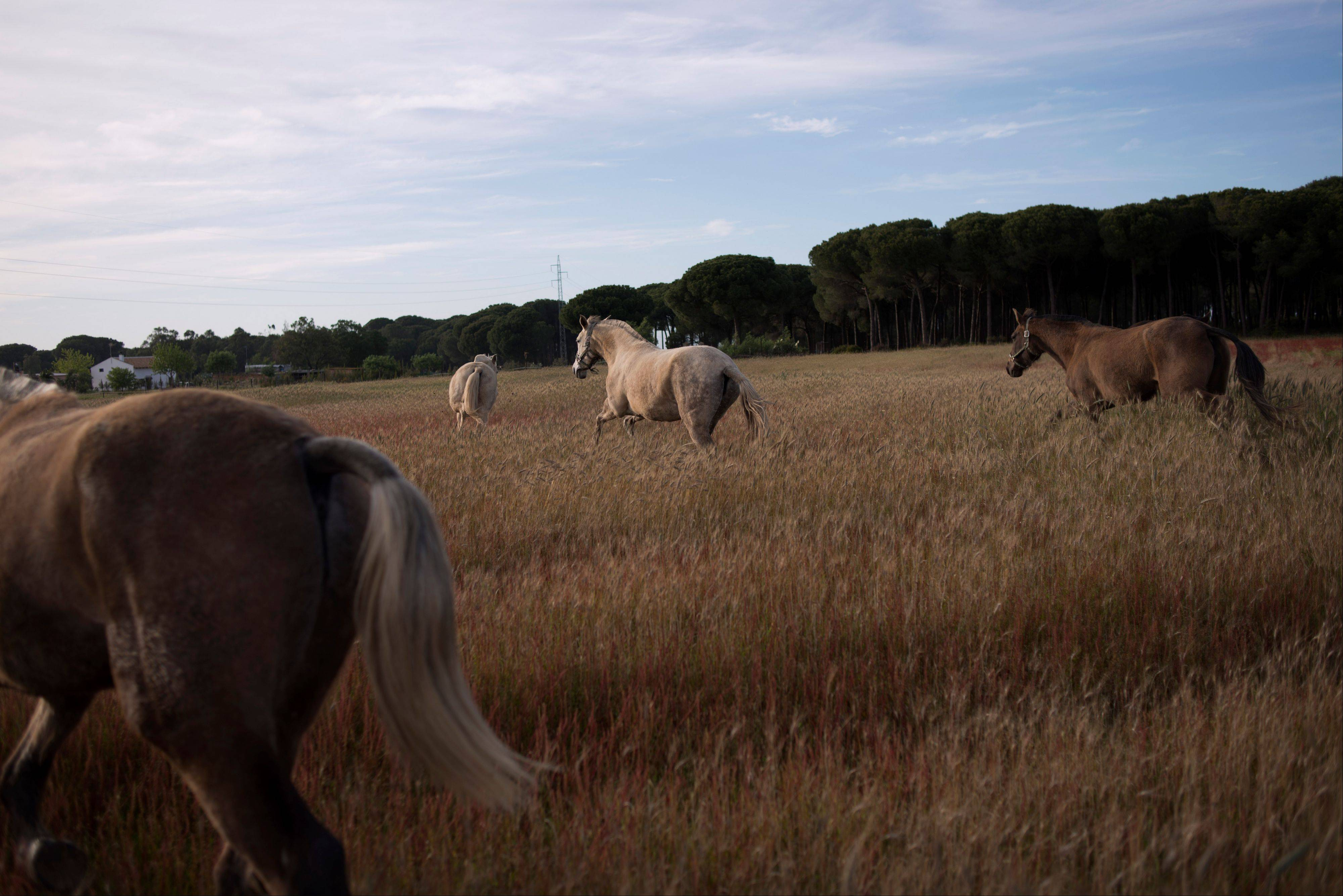 �Pura Raza Espanola� or Pure Spanish Breed mares belonging to breeder Francisco Jose Rodriguez at �La Yeguada de Cuatro Vientos� ranch in Almonte, in the southern Spanish region of Andalusia. Barring an unlikely reprieve, Mesa� purebreds will be turned into horse meat for export come July.