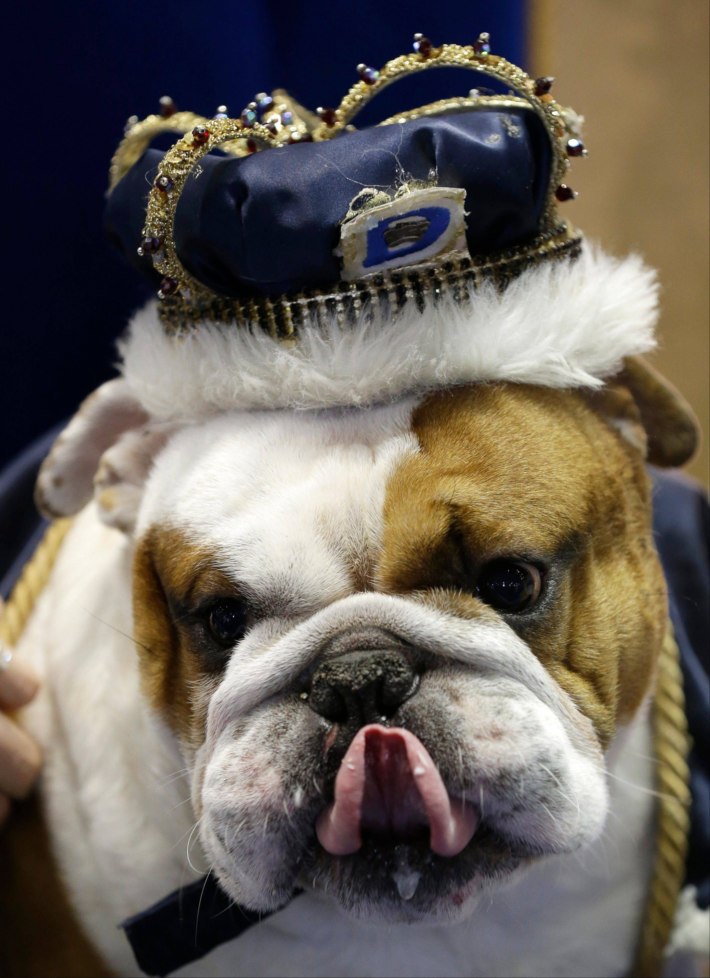 Huckleberry sits on the throne after being crowned the winner of the 34th annual Drake Relays Beautiful Bulldog Contest, Monday, April 22, 2013, in Des Moines, Iowa. The bulldog is owned by Steven and Stephanie Hein of Norwalk, Iowa. The pageant kicks off the Drake Relays festivities at Drake University where a bulldog is the mascot.