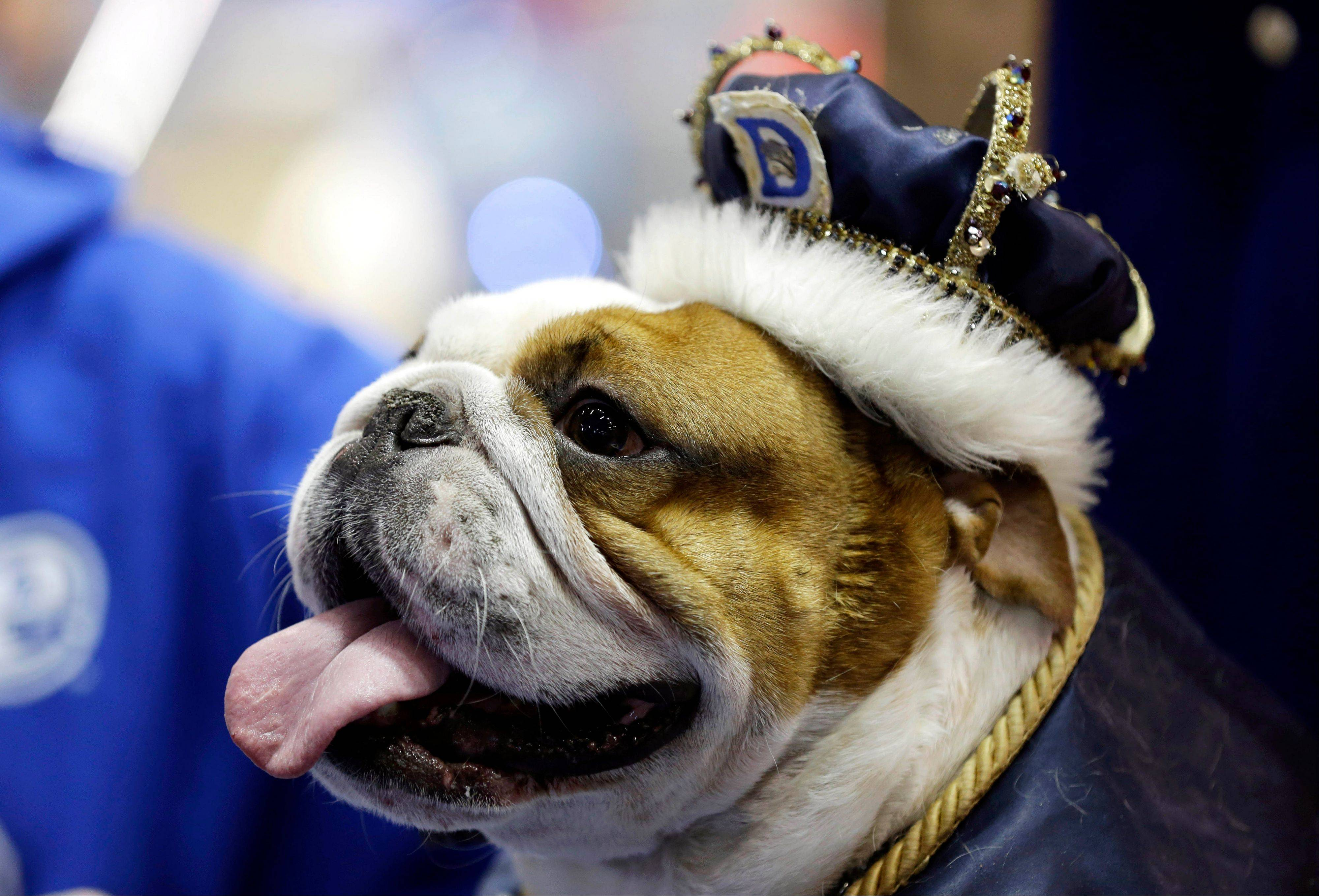 Huckleberry sits on the throne after being crowned the winner of the 34th annual Drake Relays Beautiful Bulldog Contest, Monday, April 22, 2013, in Des Moines, Iowa. The 4-year-old bulldog pup is owned by Steven and Stephanie Hein of Norwalk, Iowa. The pageant kicks off the Drake Relays festivities at Drake University where a bulldog is the mascot.