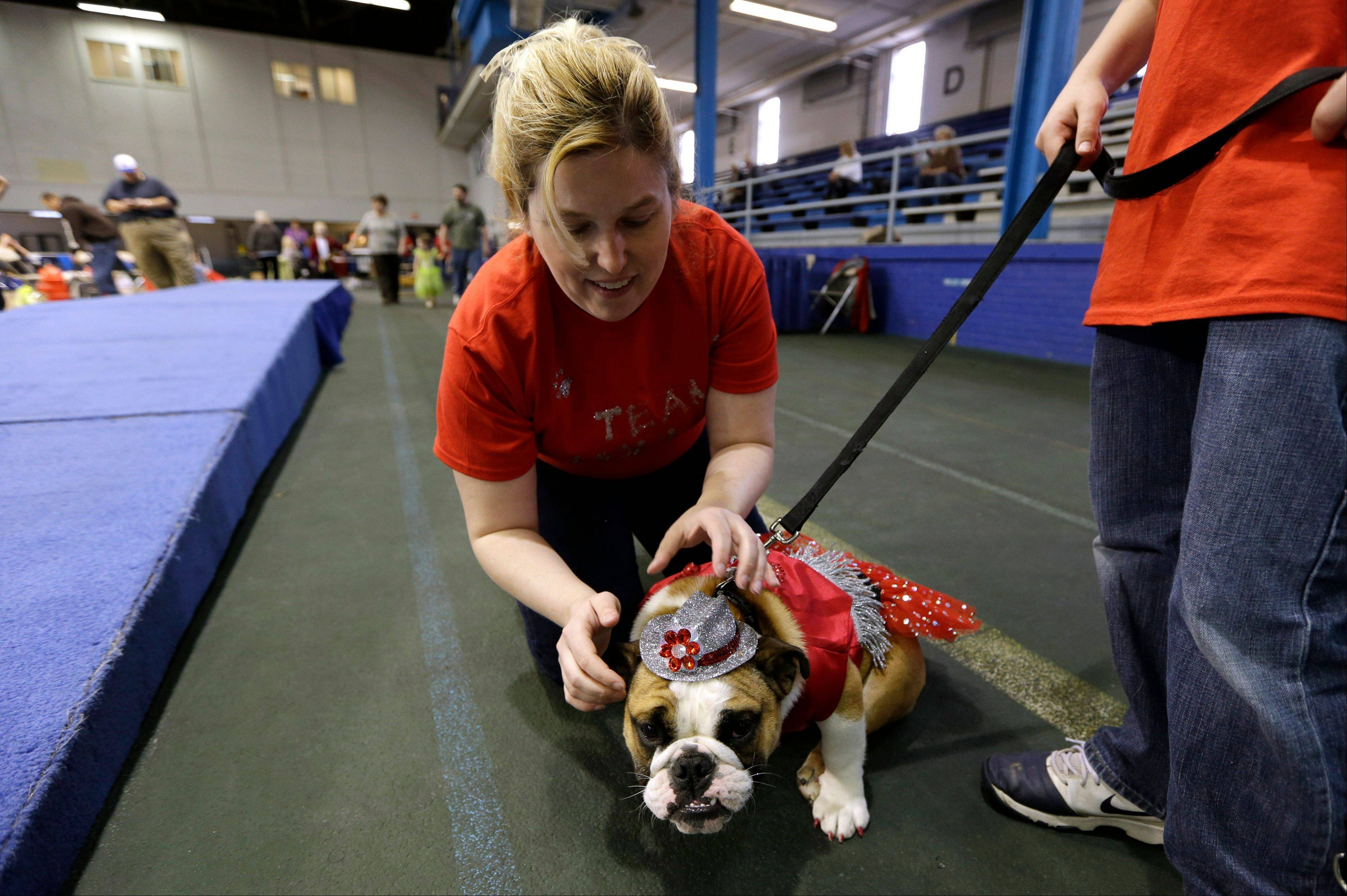 Laura Kares, of Omaha, Neb., puts a hat on her bulldog Molly during the 34th annual Drake Relays Beautiful Bulldog Contest, Monday, April 22, 2013, in Des Moines, Iowa. The pageant kicks off the Drake Relays festivities at Drake University where a bulldog is the mascot.