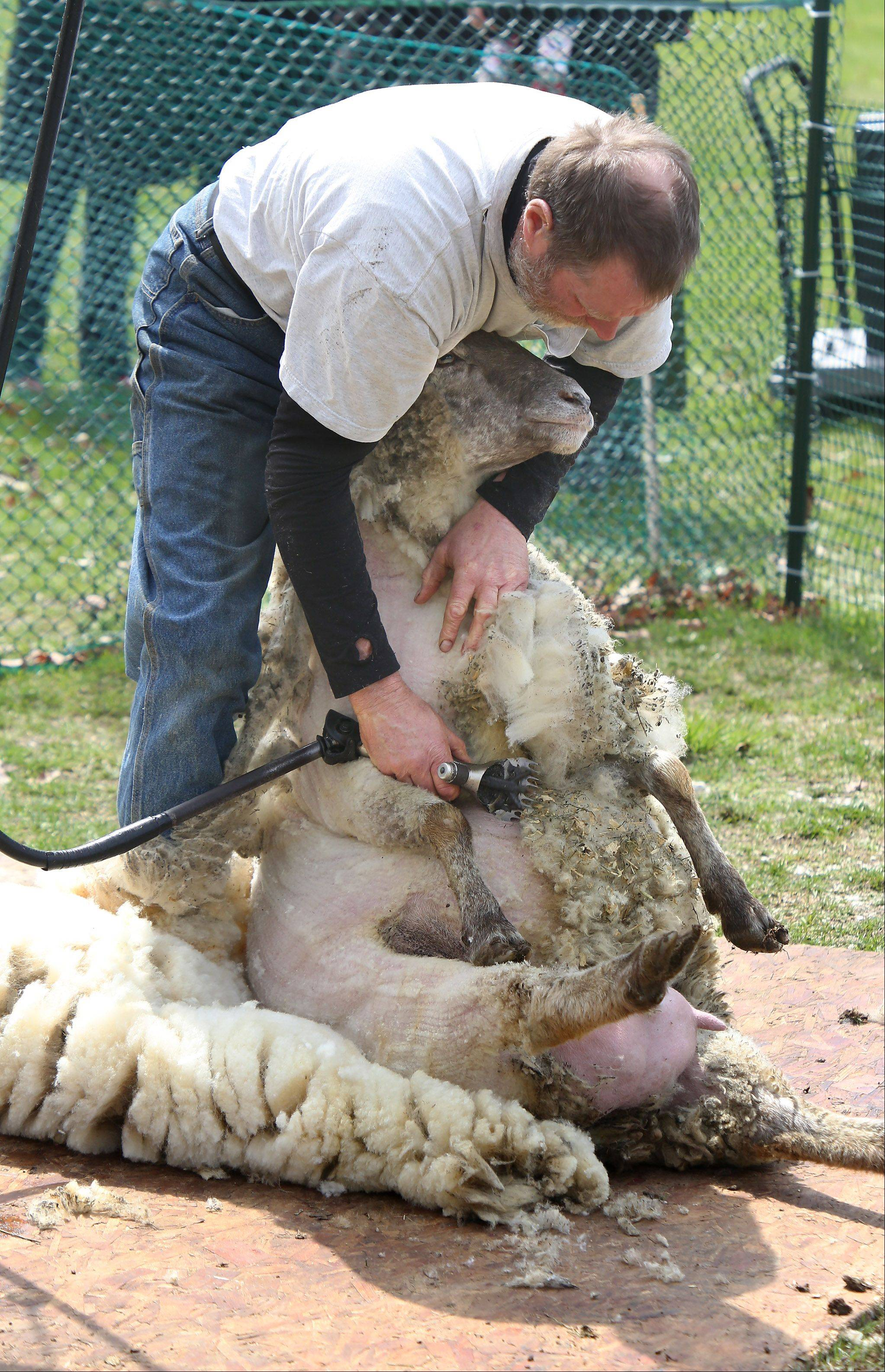 Jerry Magiera, of Wadsworth, shears a sheep at a demonstration during the Spring Celebration event Sunday at Ryerson Conservation Area in Riverwoods.