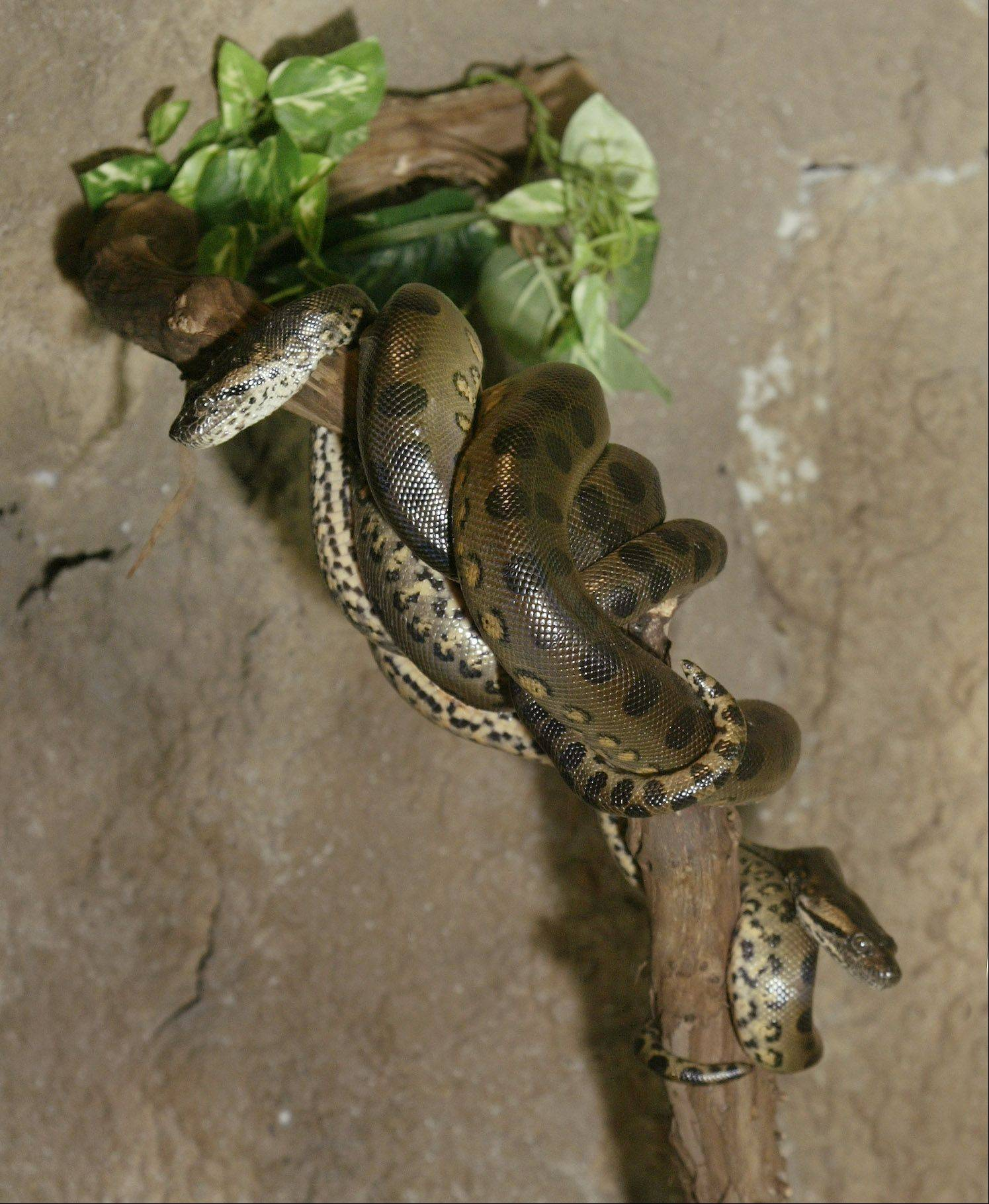 Bertha, the 250-pound Anaconda, gave birth to over 50 babies in 2004 at Serpent Safari at Gurnee Mills.