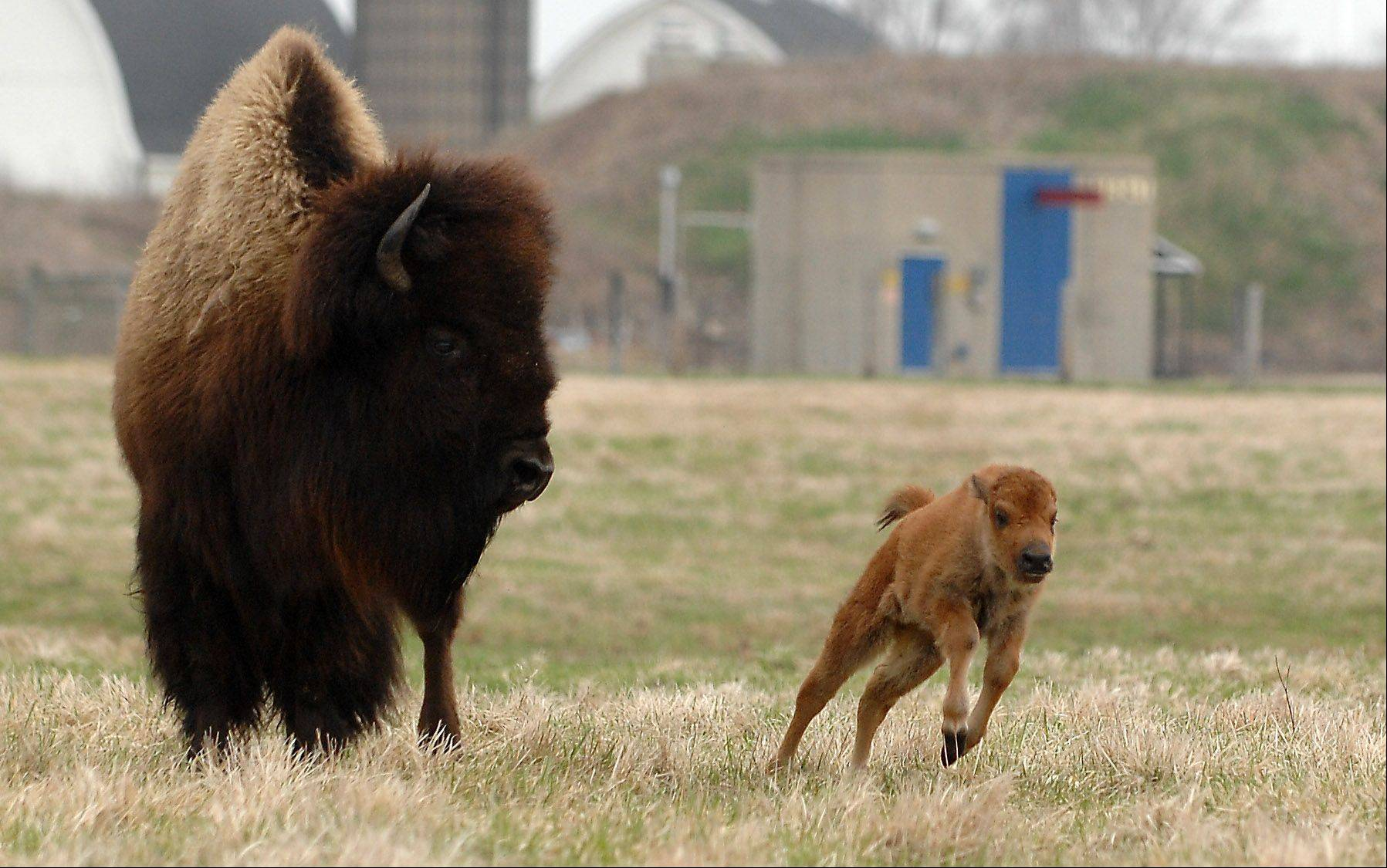 A 2-day-old bison calf goes for a run under the watchful eye of its mother at Fermilab in Batavia Tuesday. Calves were born Sunday and Monday, and another eight to 10 may be yet to come.