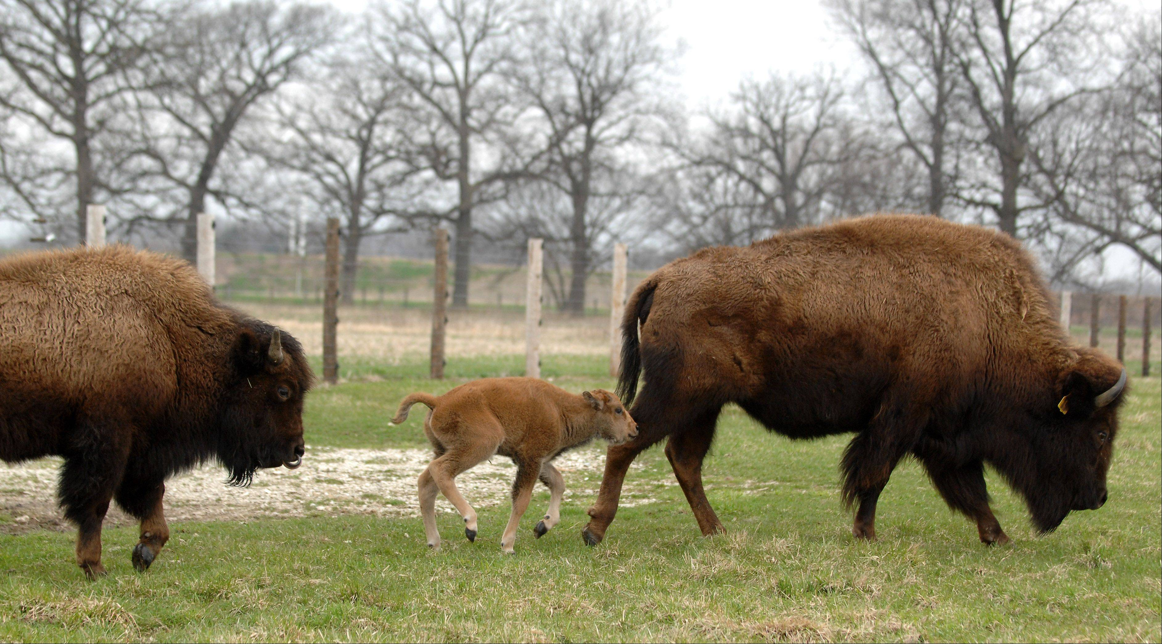 A 1-day-old bison calf follows its mother and is trailed by his 1-year-old brother at Fermilab in Batavia Tuesday.