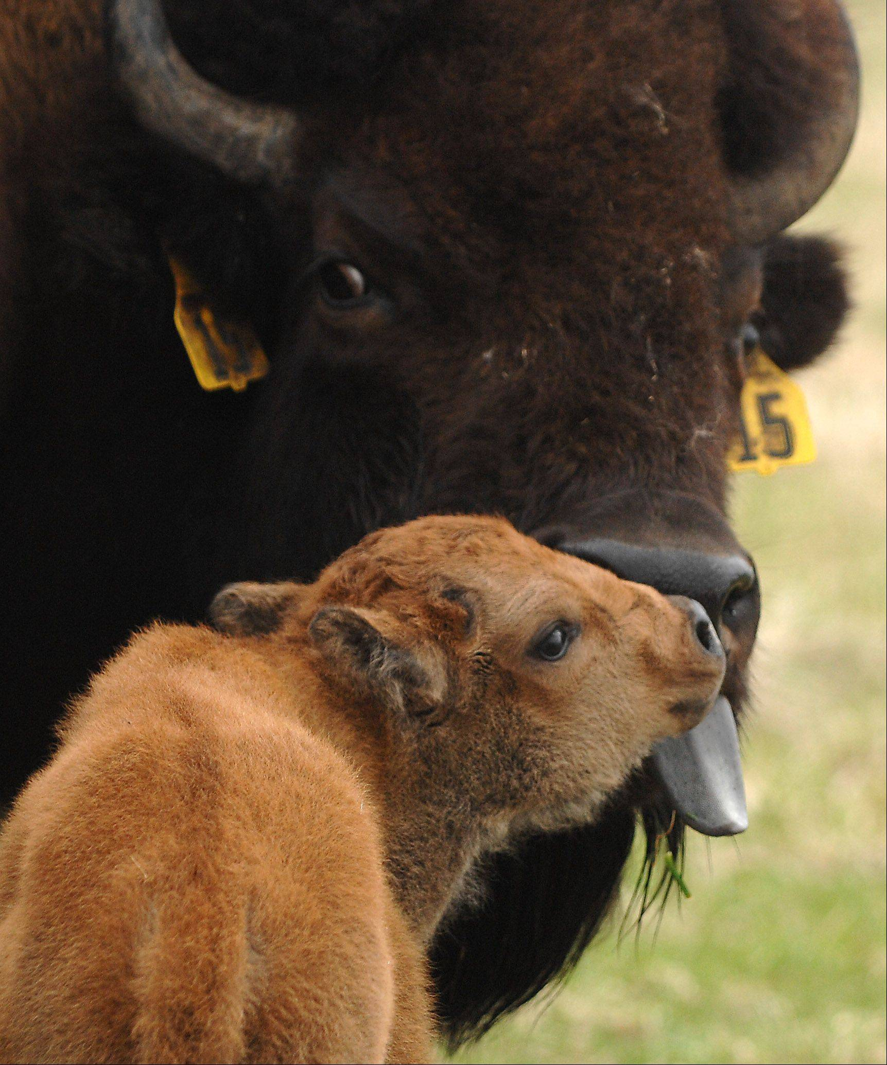 A newborn bison calf gets a bath from its mother at Fermilab in Batavia Tuesday. Calves were born Sunday and Monday and they're hoping for another eight to 10.