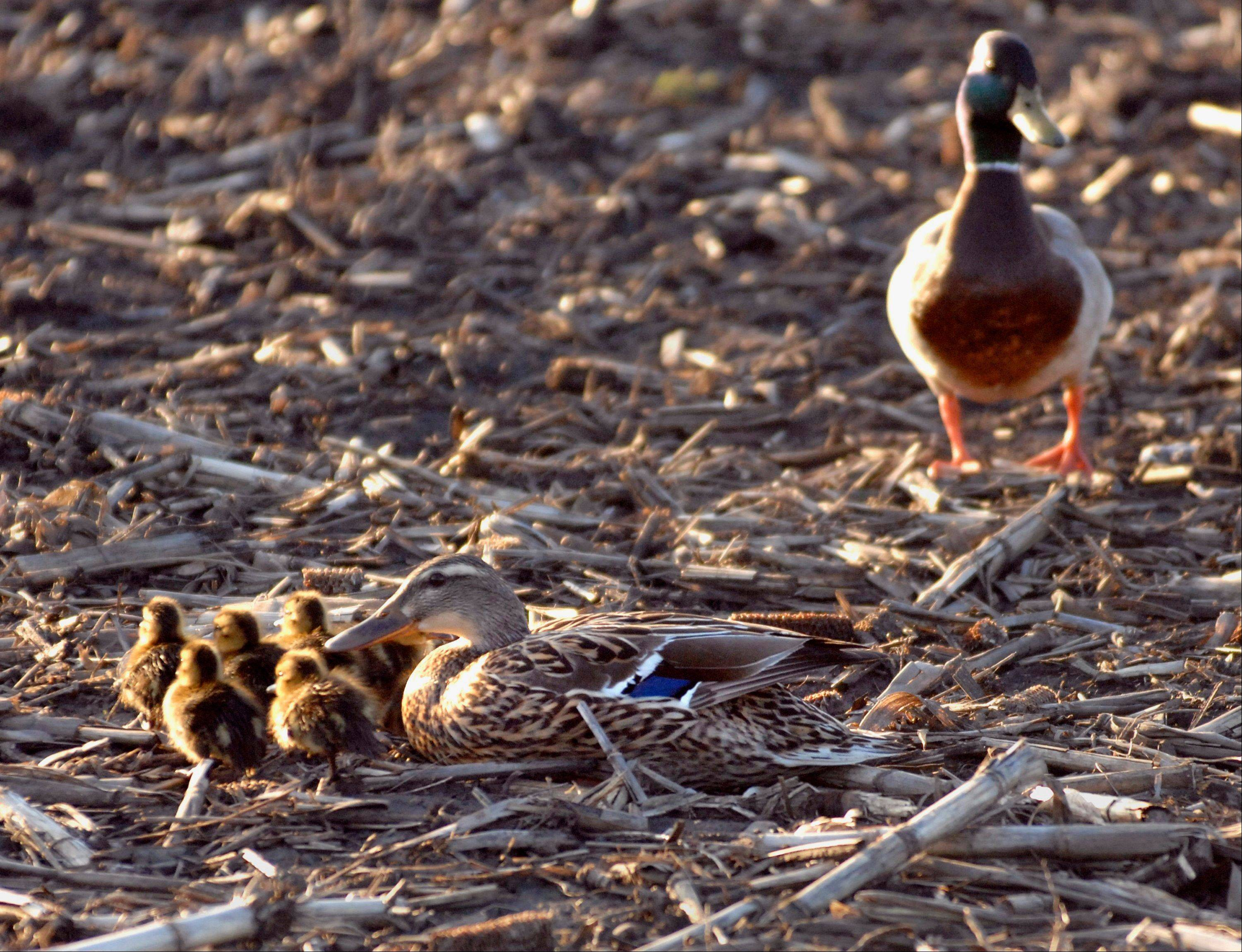 Ducklings reunite with their parents after being rescued from a storm sewer by police officers in Normal on Thursday.