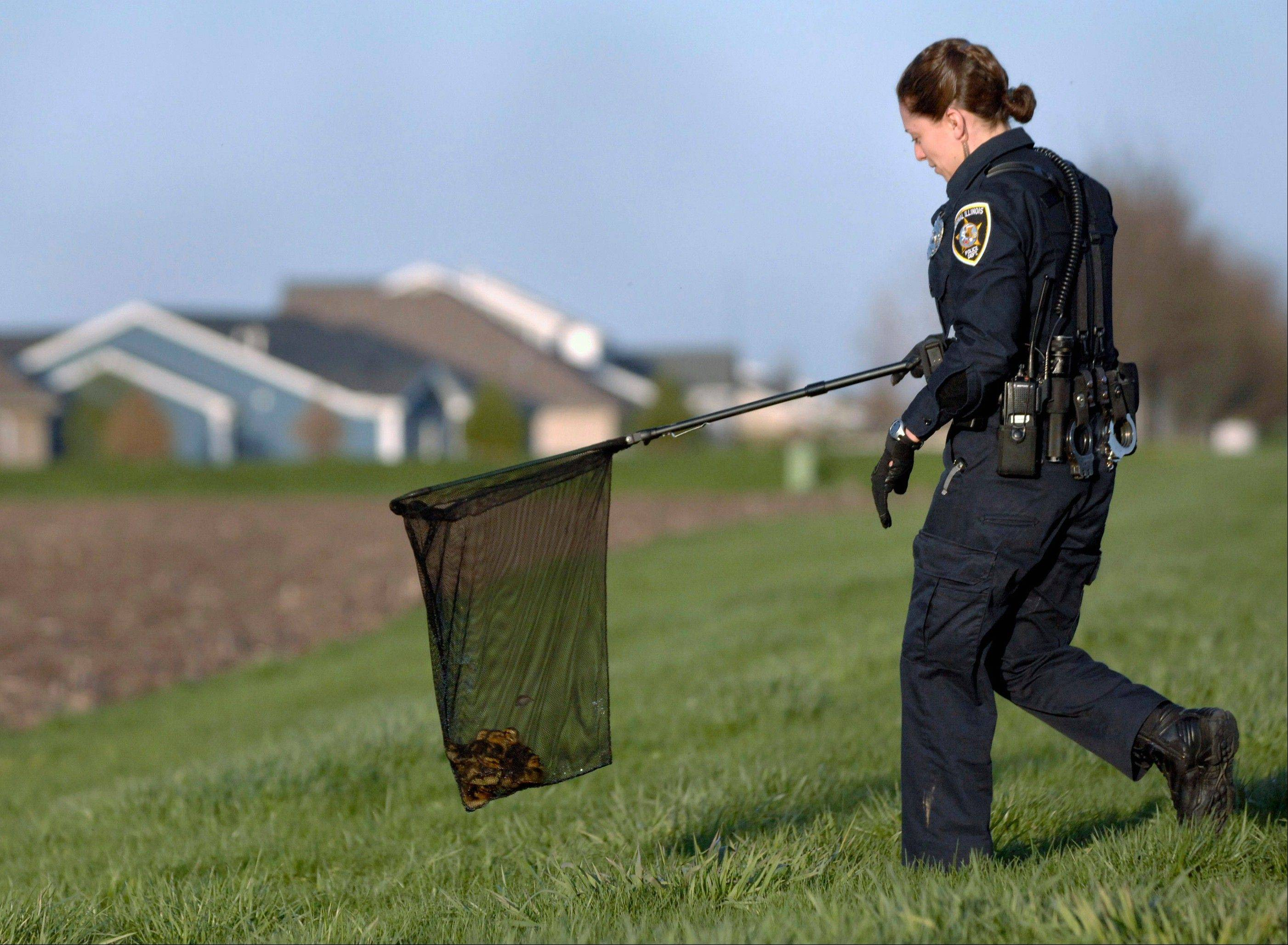 Police officer Melissa Zabukovec relocates eight ducklings after they were rescued them from a storm sewer in Normal.