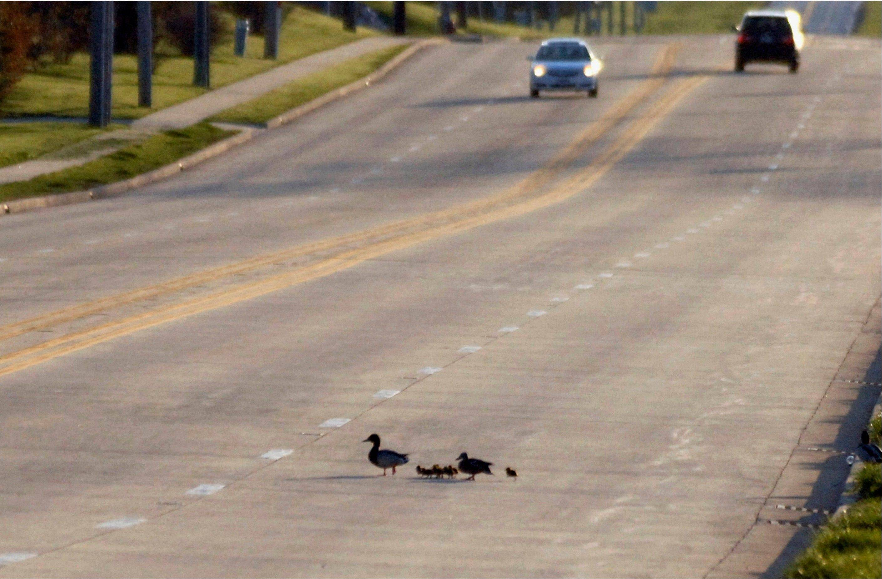 The family of ducks crosses a road after police officers rescued eight ducklings from a storm sewer in Normal.