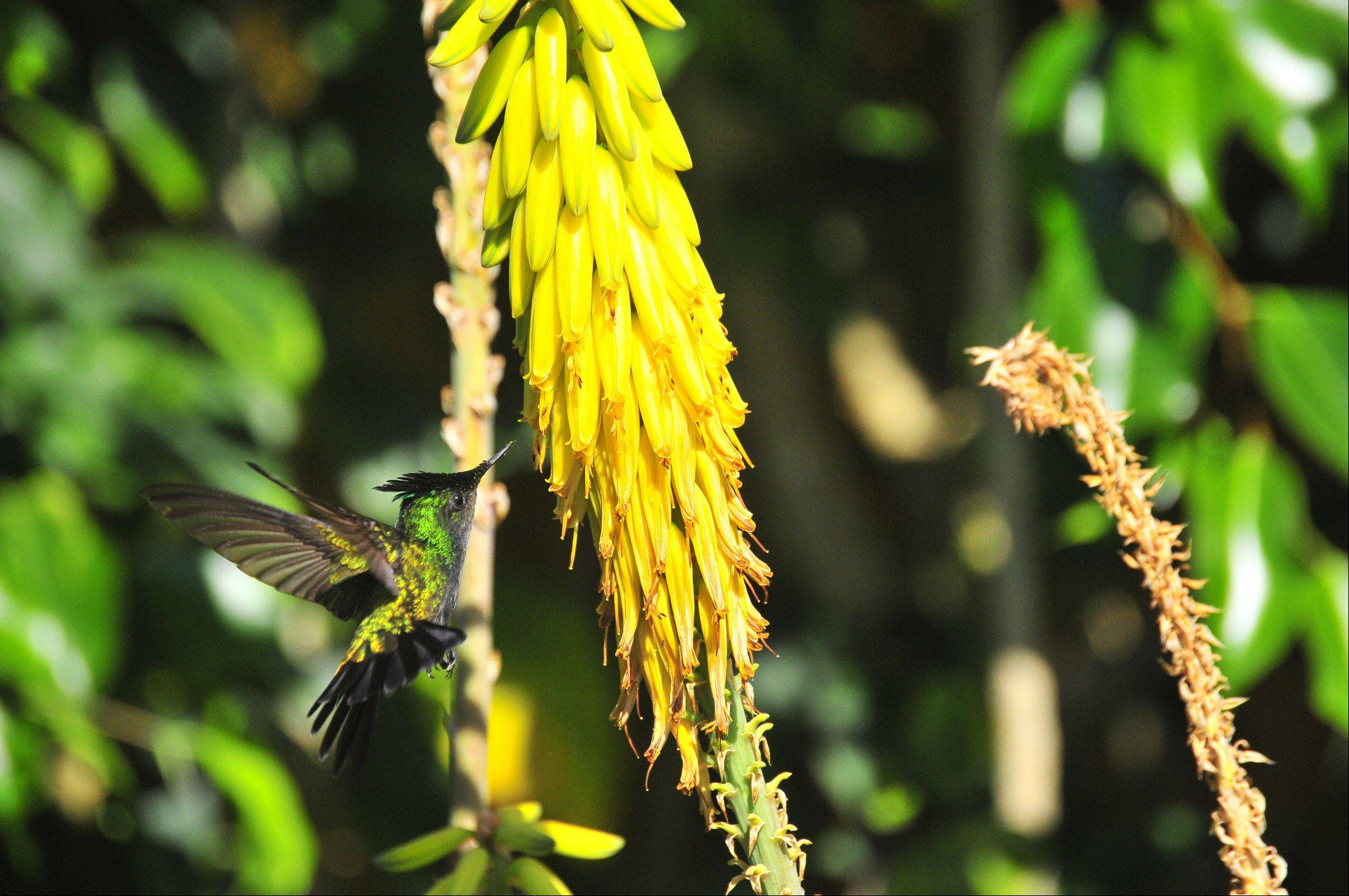 A hummingbird flies around the foliage on St. John Virgin Islands last month.