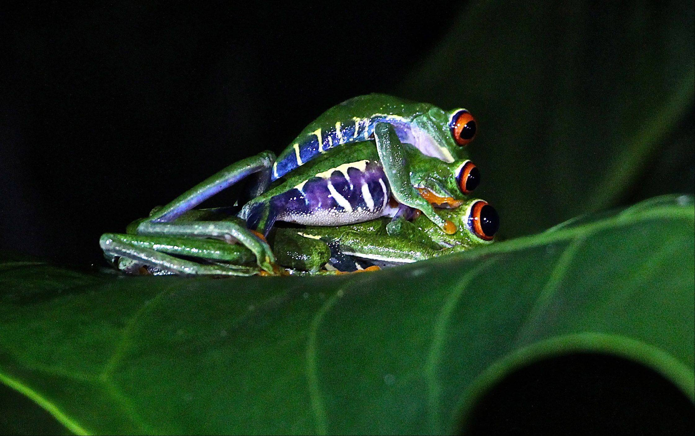 Several red-eyed tree frogs are stacked one on top of the other in Costa Rica.