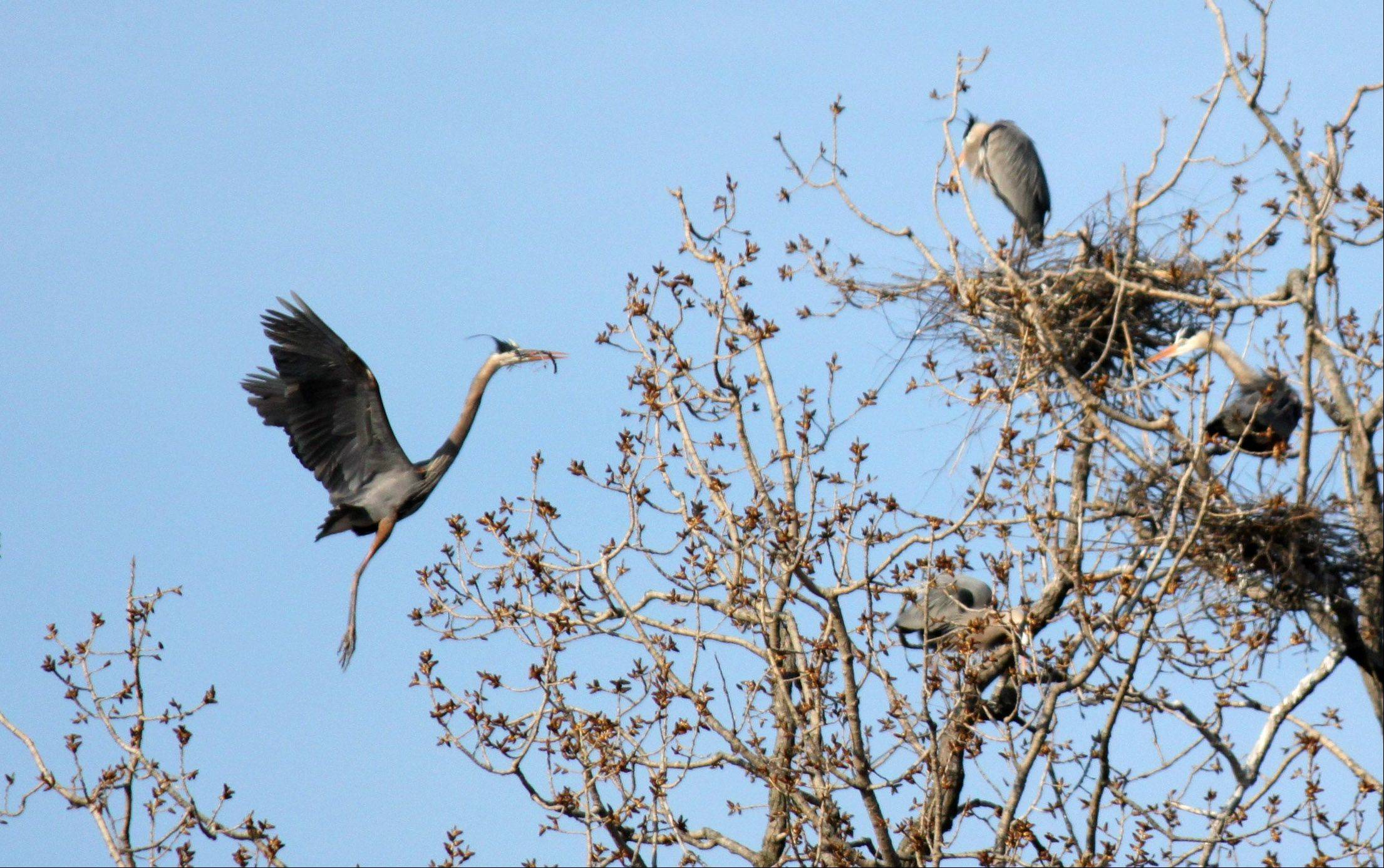 Each year the Great Blue Herons build their nests in the trees along the banks of east branch of the DuPage River. They establish quite a large rookery there with multiple nests. The photo I took shows a parent coming in with a fish in its mouth to feed the newborn herons.
