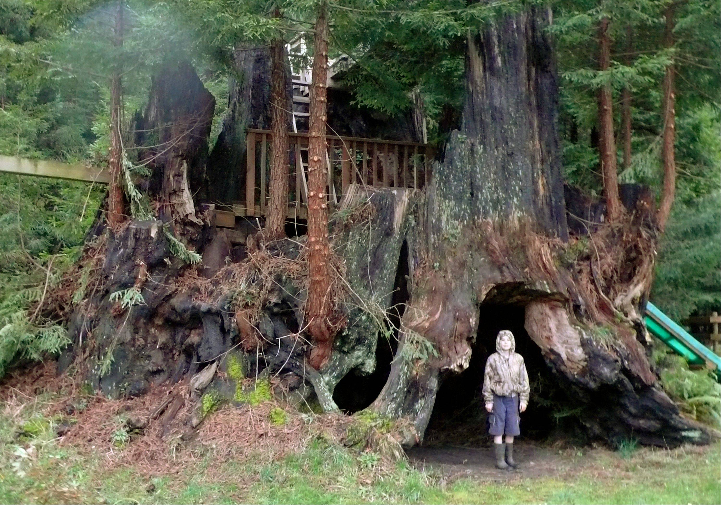 A coastal redwood tree near Crescent City, Calif., is among dozens that have been cloned by the Archangel Ancient Tree Archive)