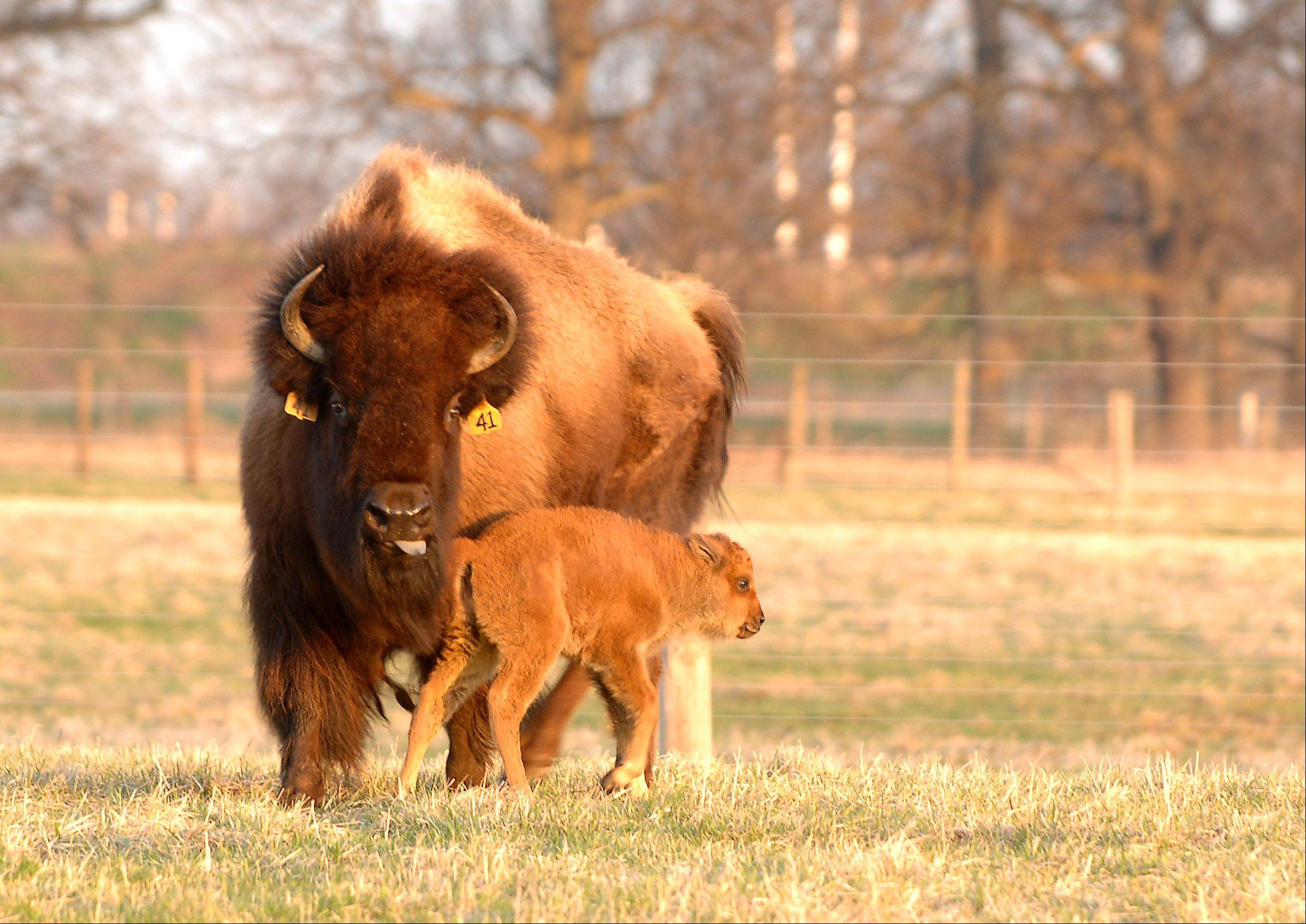A mother bison watches over her one-day-old calf as they bathe in the early morning sun at Fermilab in Batavia Monday. Several other calves are expected to be join the herd soon.