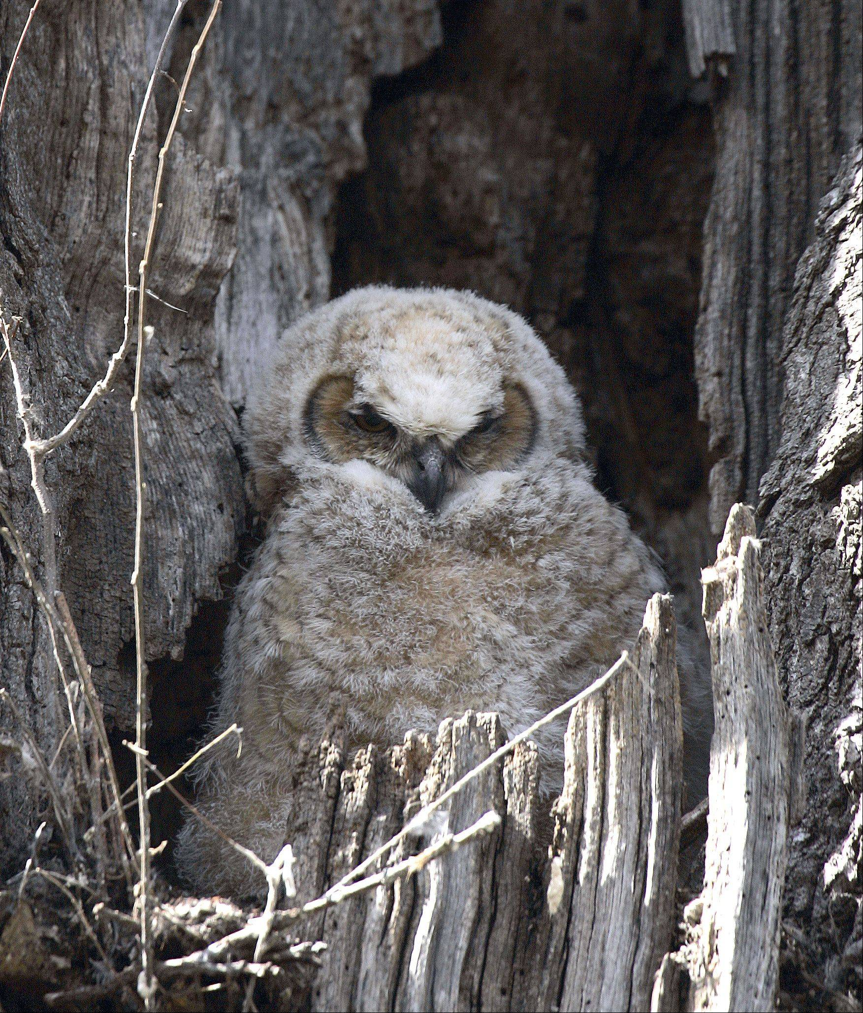 A baby great horned owl rests in a tree last week in the Fabyan Forest Preserve near Geneva. The mother was close by, keeping an eye on all onlookers.
