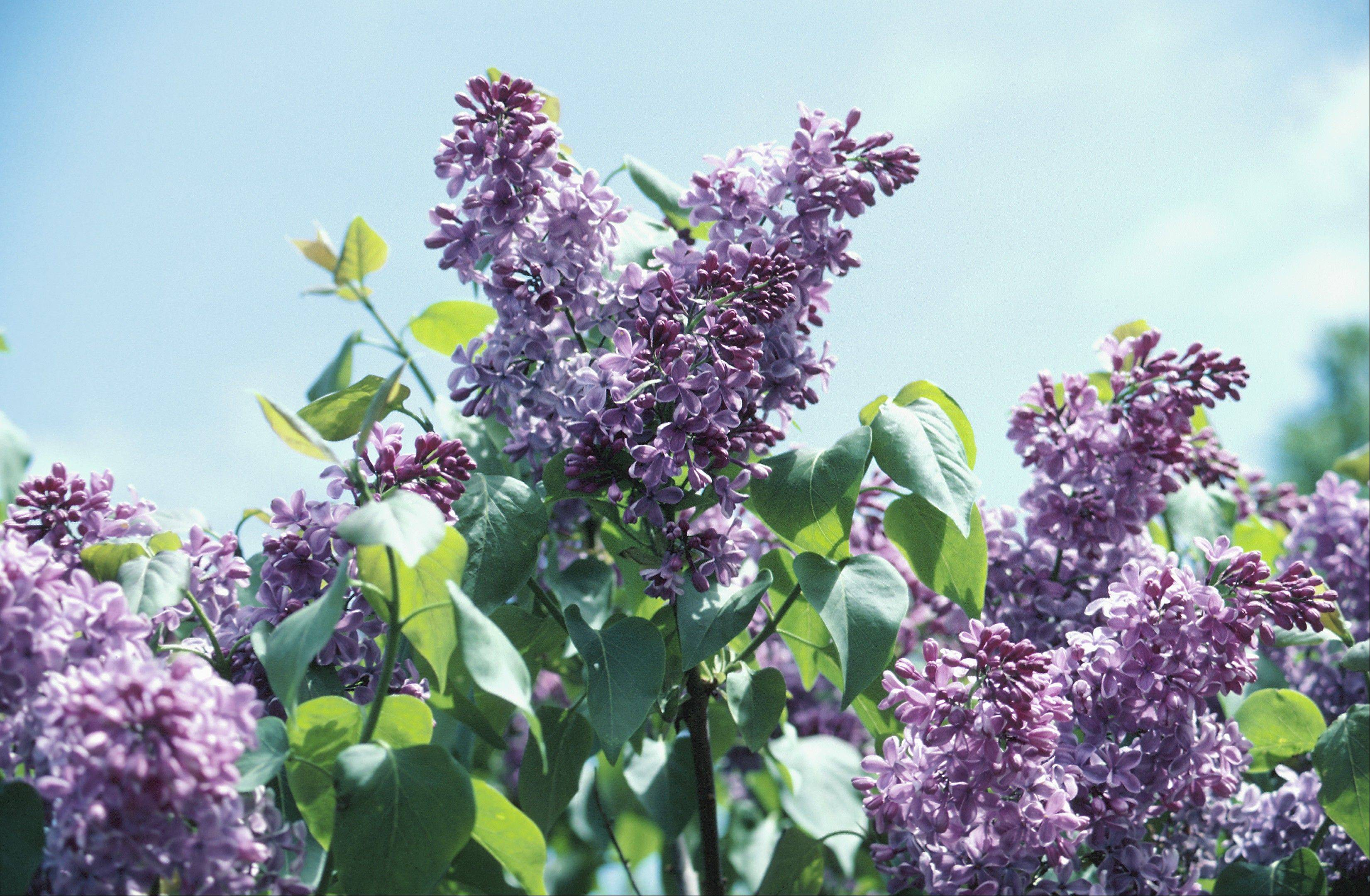 Lilac Time in Lombard features 800 lilacs of several varieties on display at Lilacia Park, where a few dozen community activities are scheduled from May 4-19.
