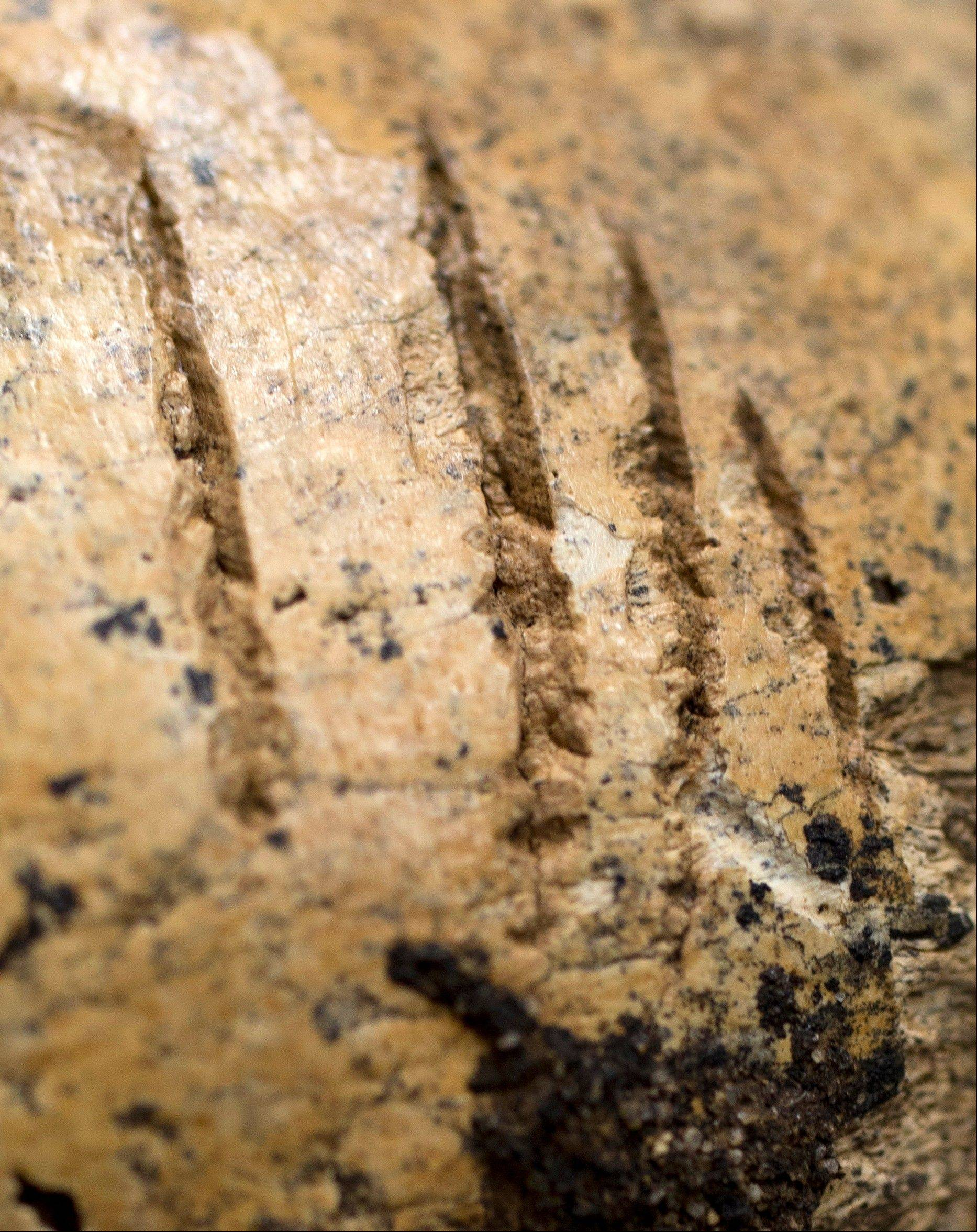 "Strike marks are seen on the skull of ""Jane of Jamestown"" during a news conference at the Smithsonian's National Museum of Natural History in Washington, Wednesday, May 1, 2013. Scientists announced during the news conference that they have found the first solid archaeological evidence that some of the earliest American colonists at Jamestown, Va., survived harsh conditions by turning to cannibalism presenting the discovery of the bones of a 14-year-old girl, ""Jane"" that show clear signs that she was cannibalized."