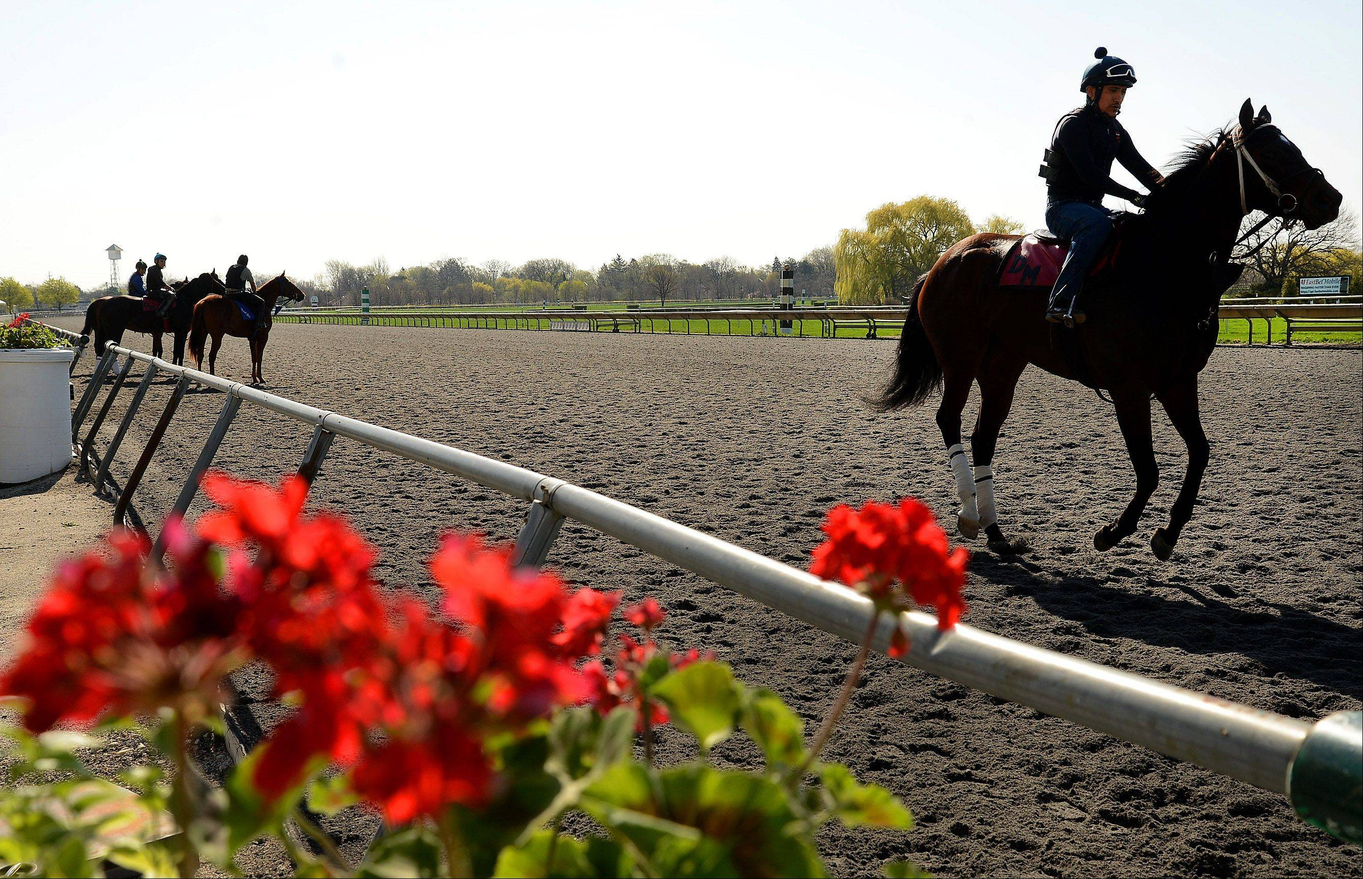 Horses work out in preparation for opening day at Arlington International Racecourse.