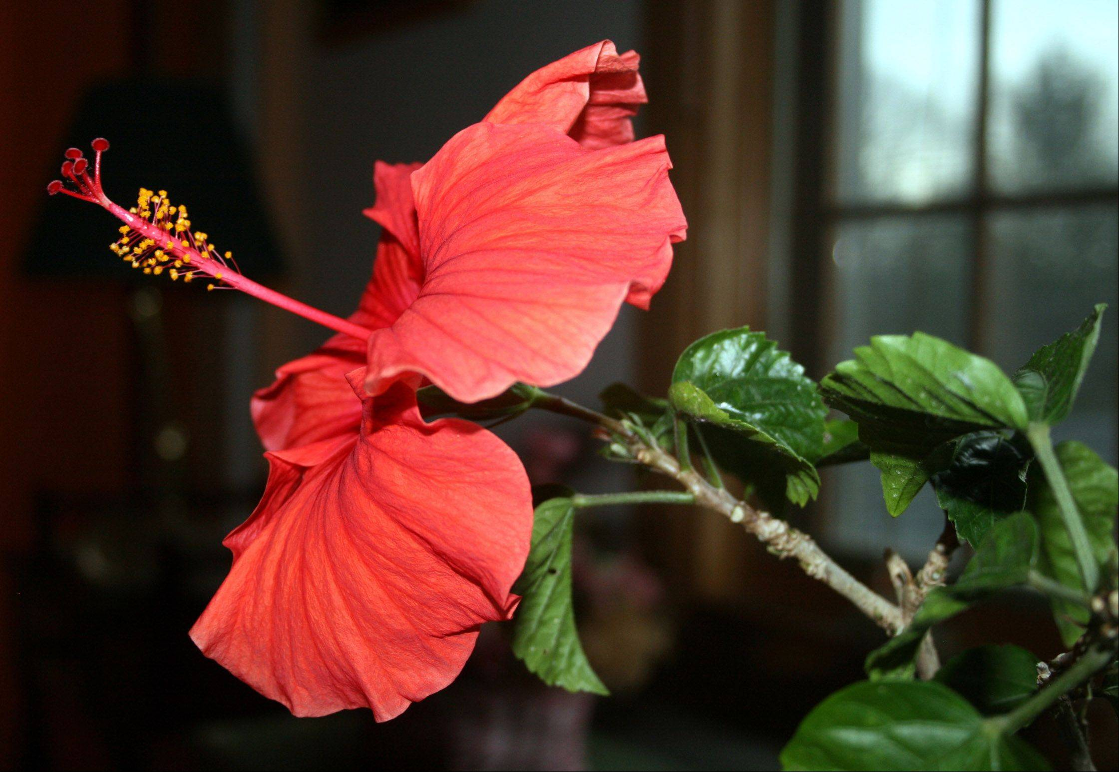 An indoor flower awakens as spring begins, even as winter snows fall outside.