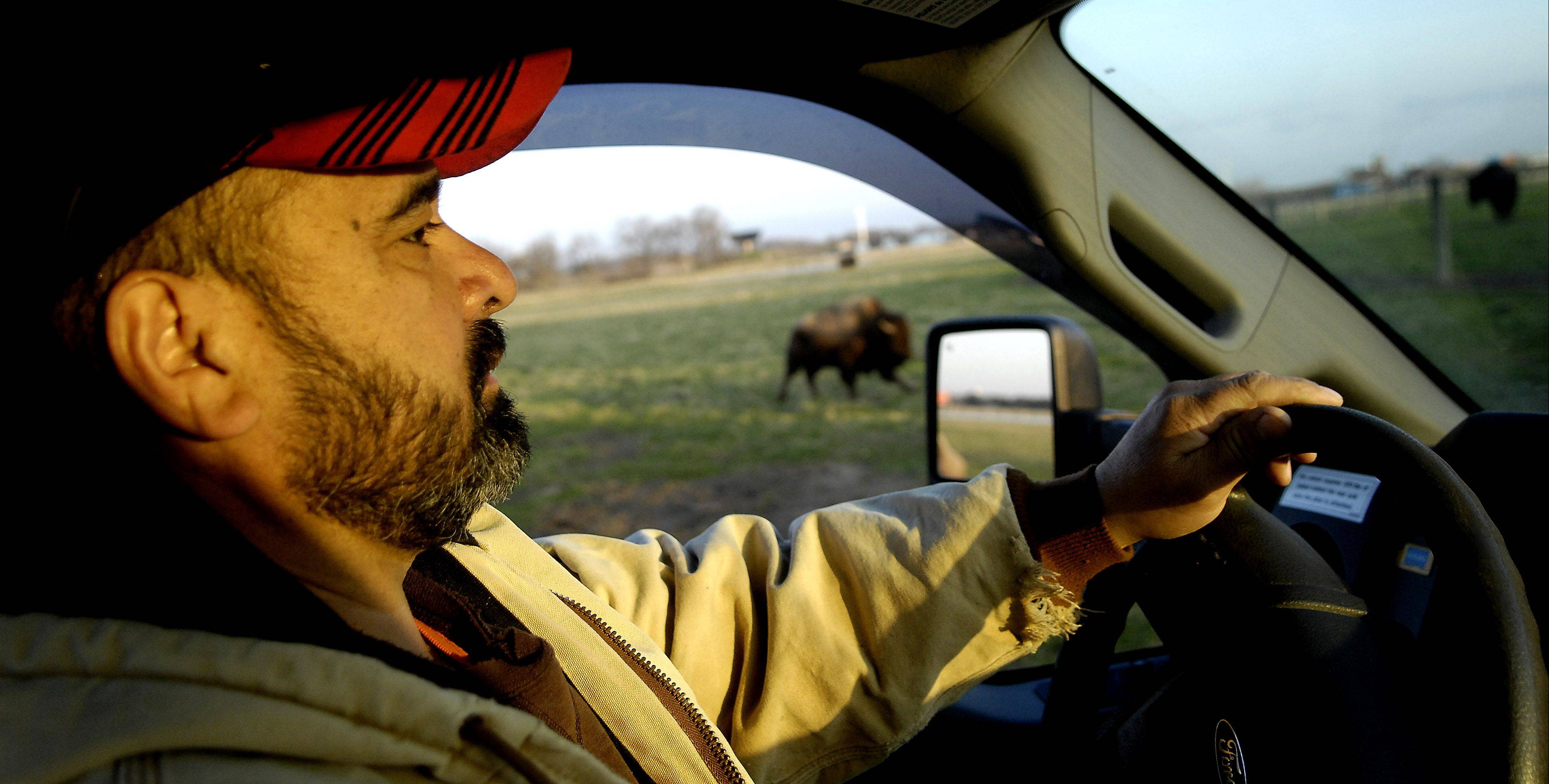 Cleo Garcia drives through the pasture as he checks on the bison herd just after sunrise. The bison are used to him and his truck but he stays in the cab because of their unpredictable nature.