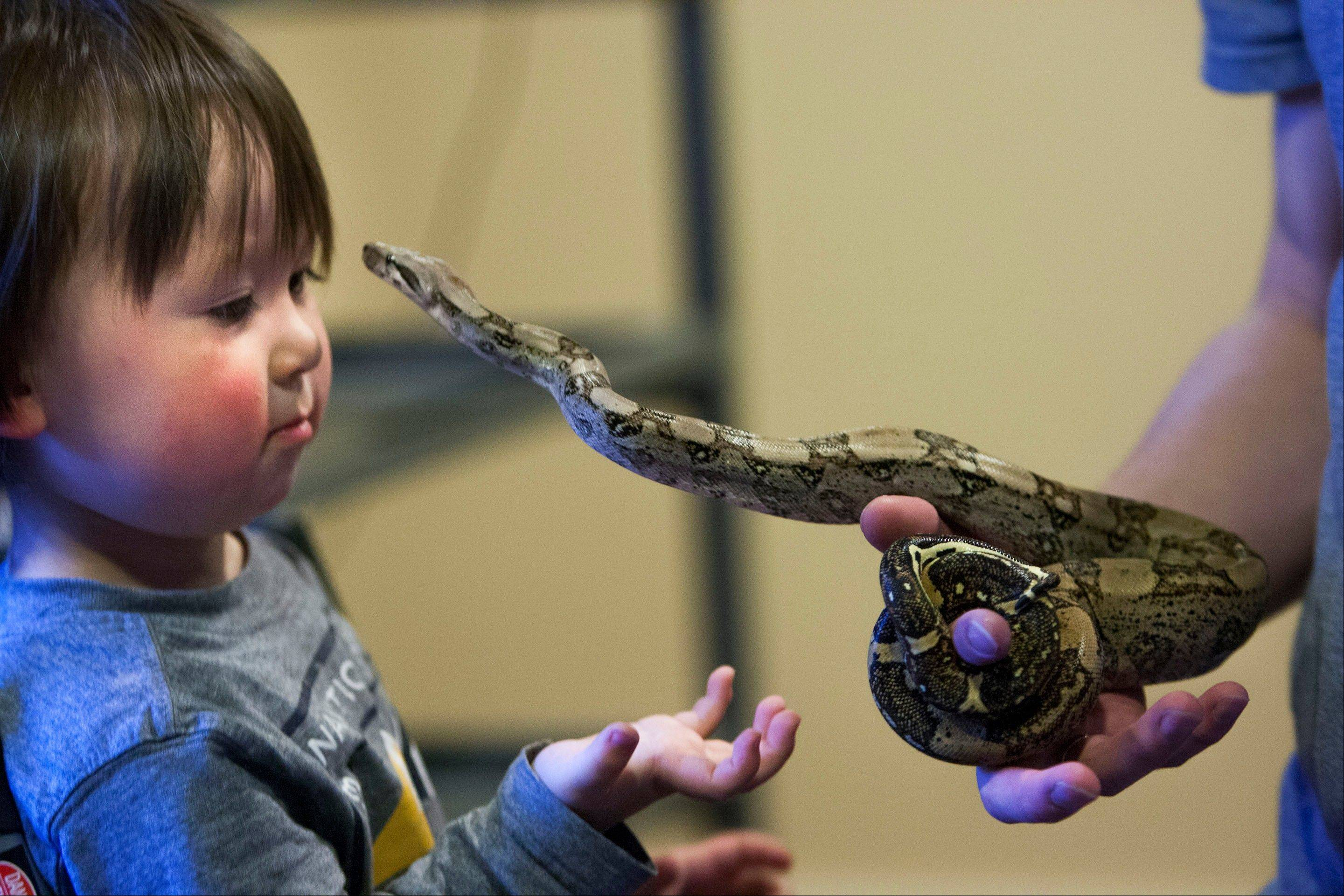 Caiden Cobb admires one of his father�s snakes in Cottonwood Heights, Utah. Thomas Cobb has been ordered by police to get rid of all but one of his 29 exotic boa constrictor snakes because he doesn�t have an exotic pet permit.