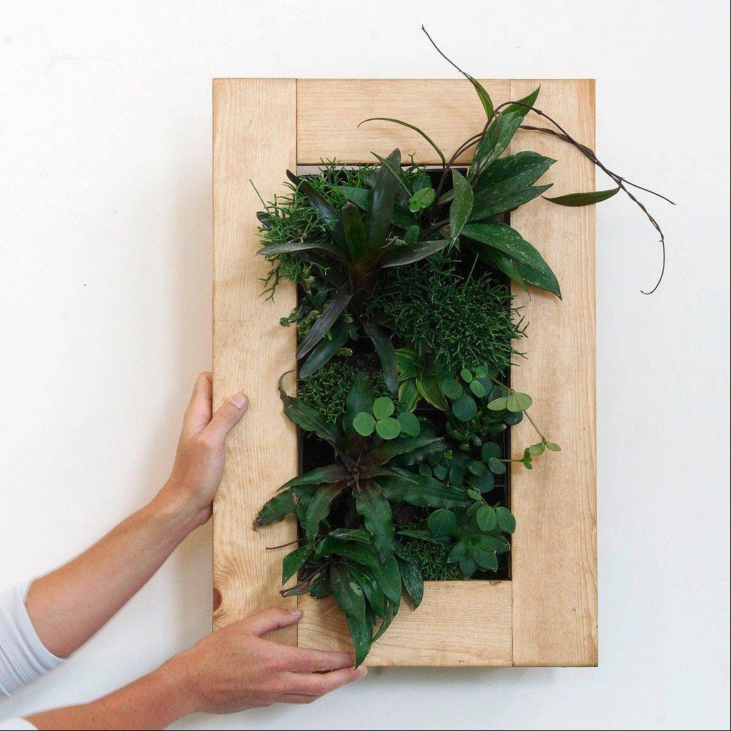 A living picture made with cryptanthus and neoregelia bromeliads, rhipsalis cactus, haworthia, hoya, and peperomia.
