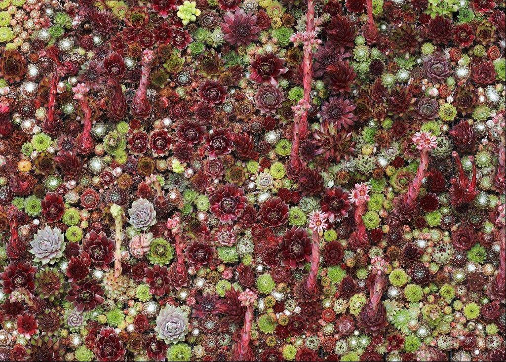 A close-up of a living succulent picture dominated by red plants.