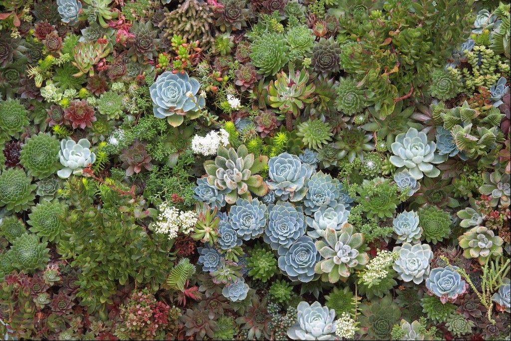 A close-up of a living succulent picture in San Francisco.