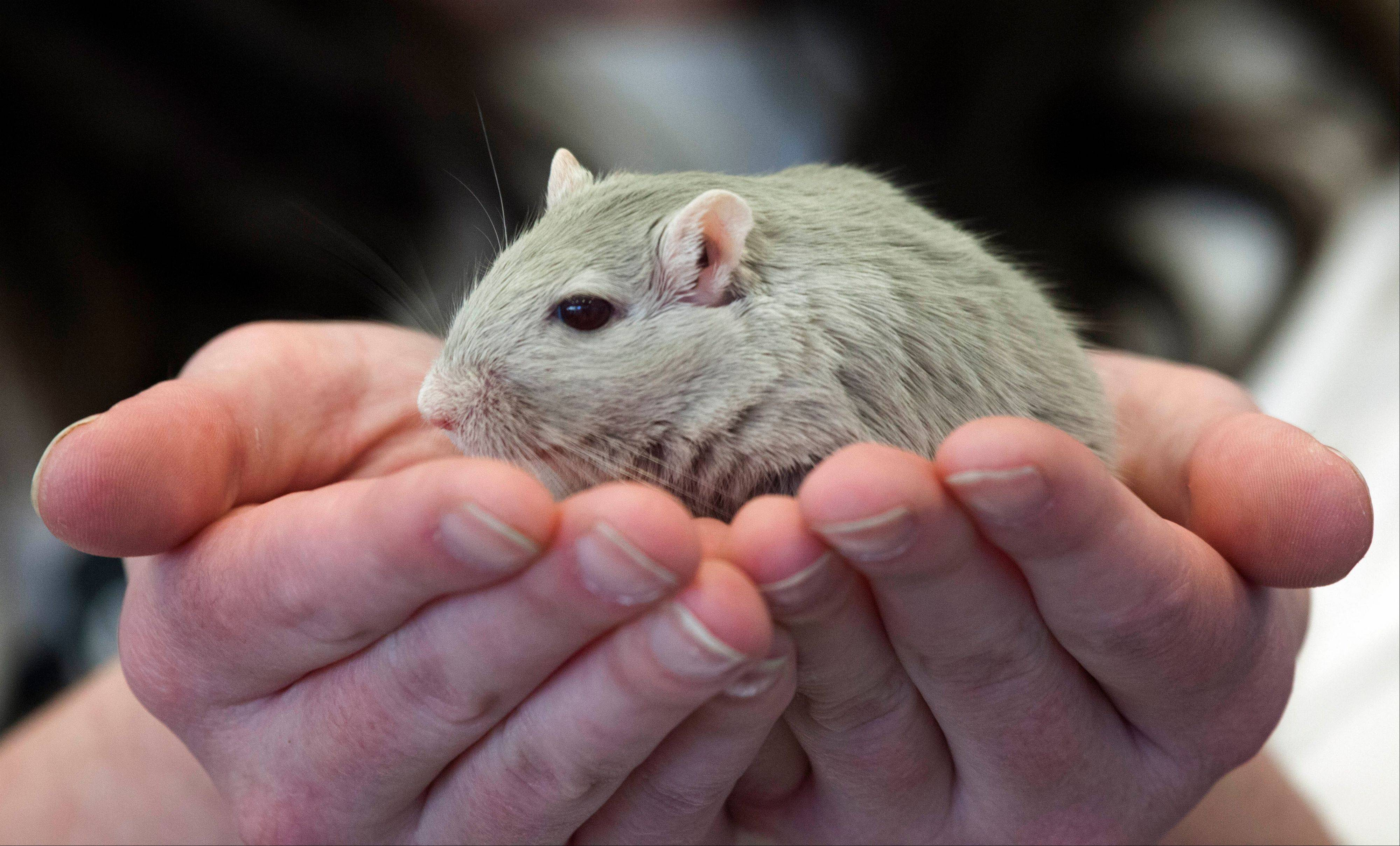 Diane Nott, of Elyria, Ohio, holds a gerbil Friday prior to the society's annual New England pageant.