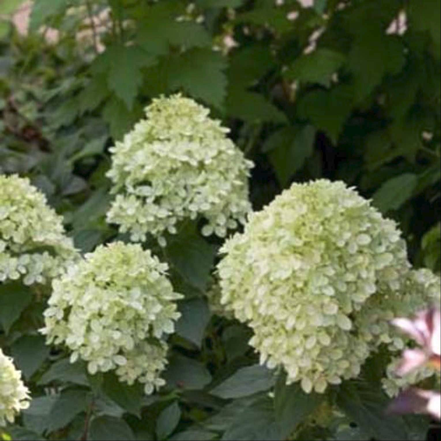 Little lime hydrangea can help give a layered look to a landscape design.