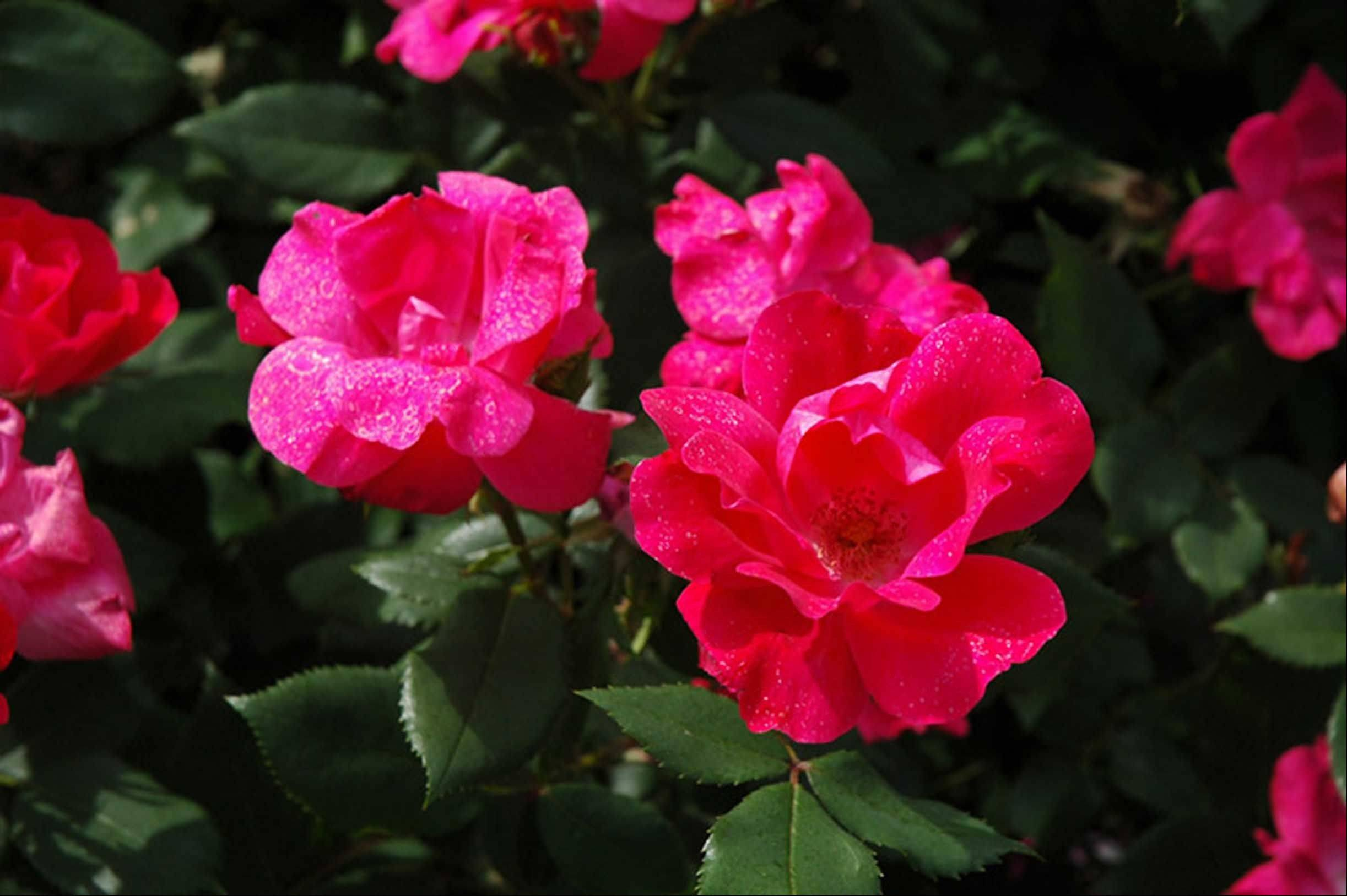 Knock Out Roses can help give a layered look to a landscape design.