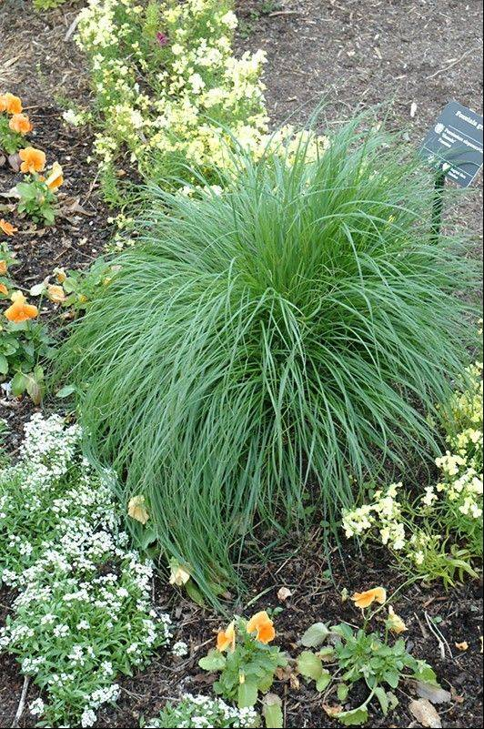 Dwarf Fountain grass contrasts nicely with flowering plants surrounding it.