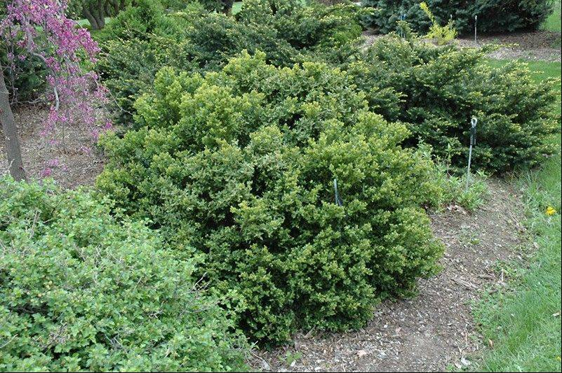 Green velvet boxwood can help anchor the corner of a house.