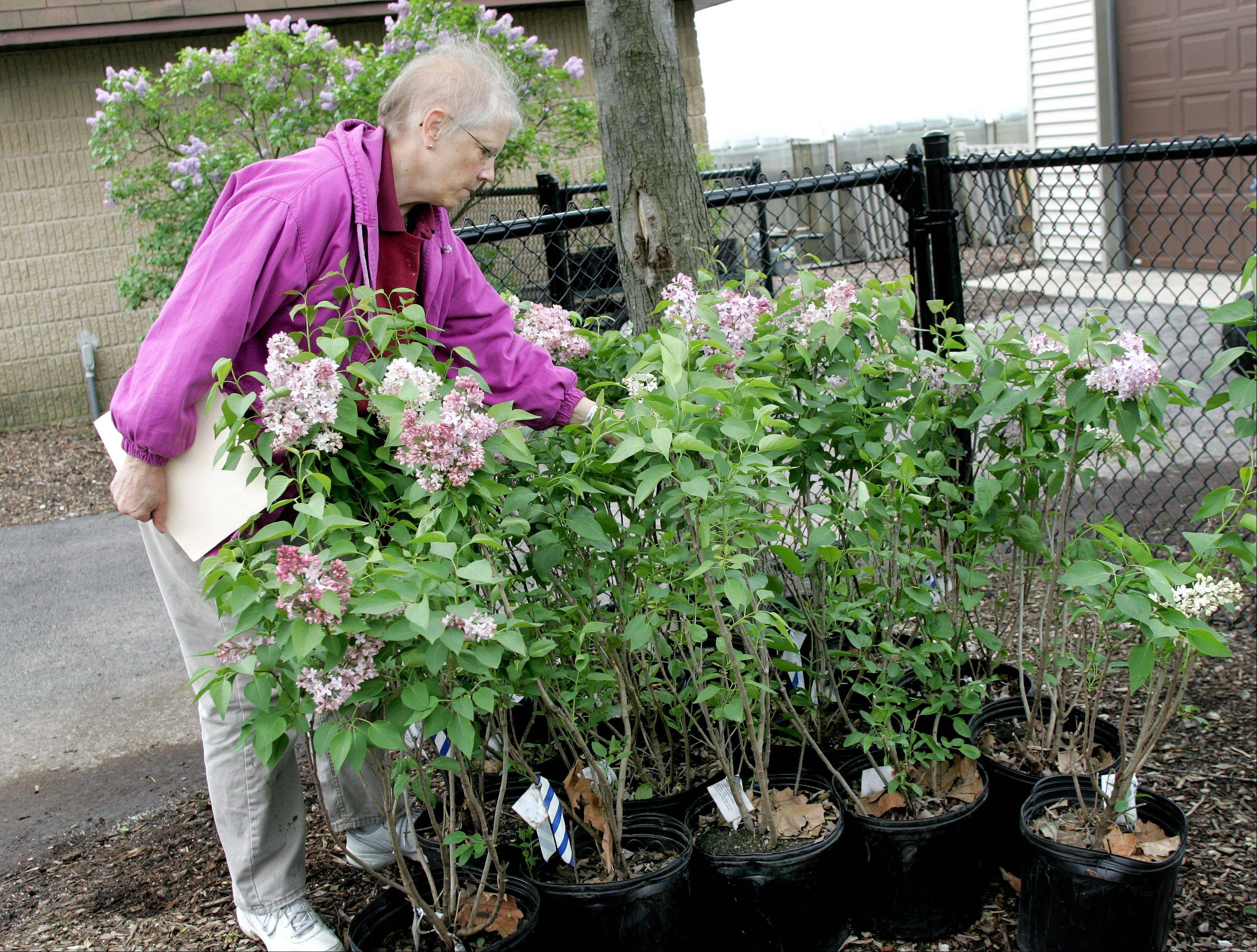 'President Lincoln' among lilacs for sale in Lombard