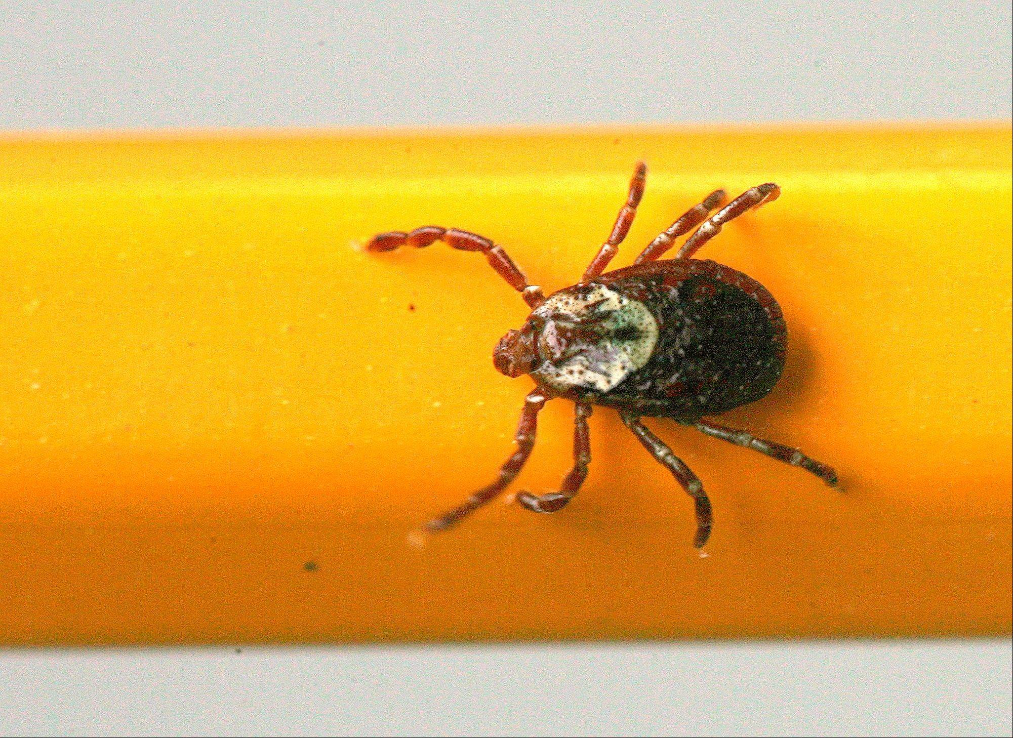 A wood tick clings to a pencil used for scale.