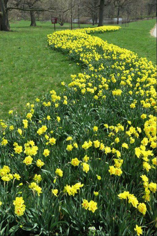 Here's a recent photo I took of the daffodils at the Morton Arboretum in Lisle.