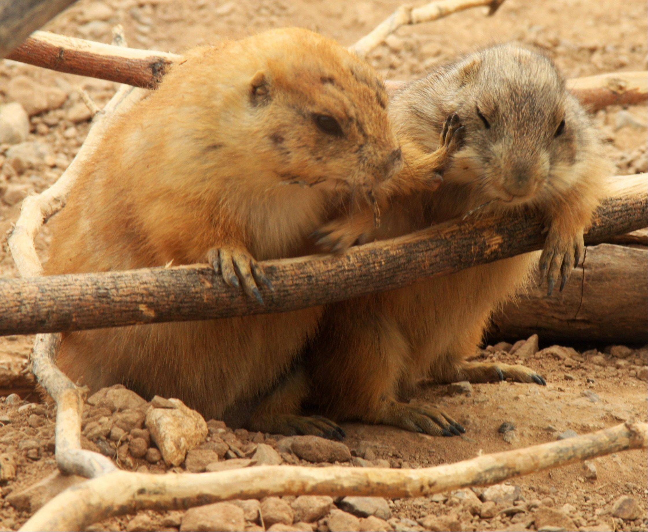 Two prairie dogs interact with each other at the Arizona Sonoran Desert Museum in Tucson, Arizona.