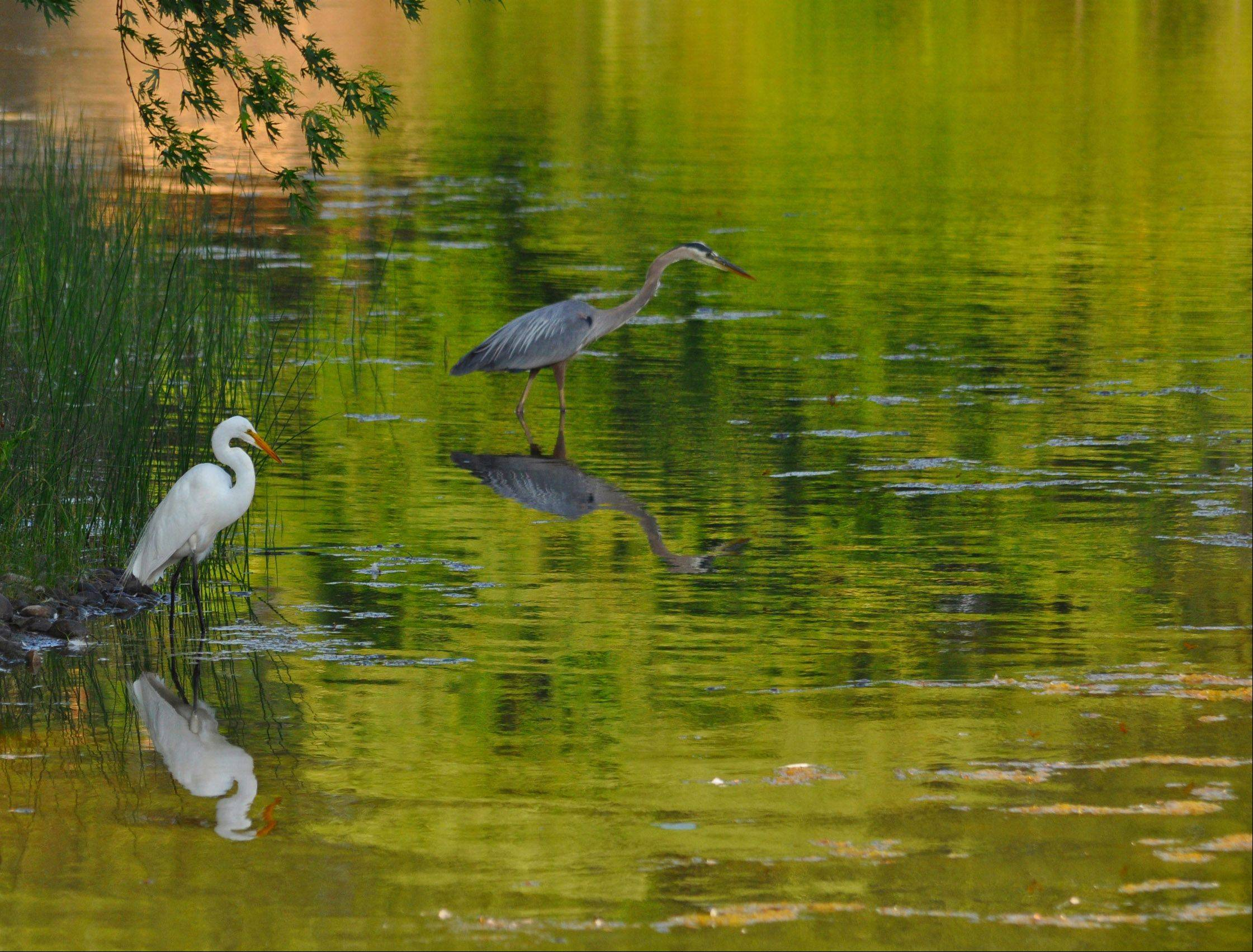 A couple of herons walk around a pond in Wheeling.