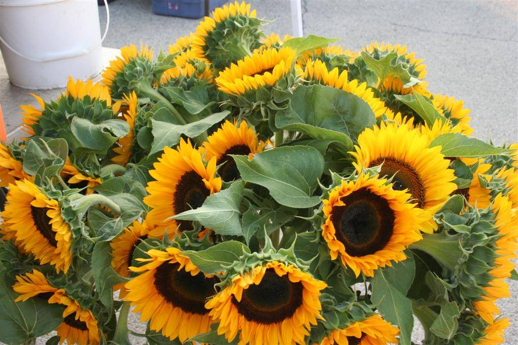 Sunflowers at the market