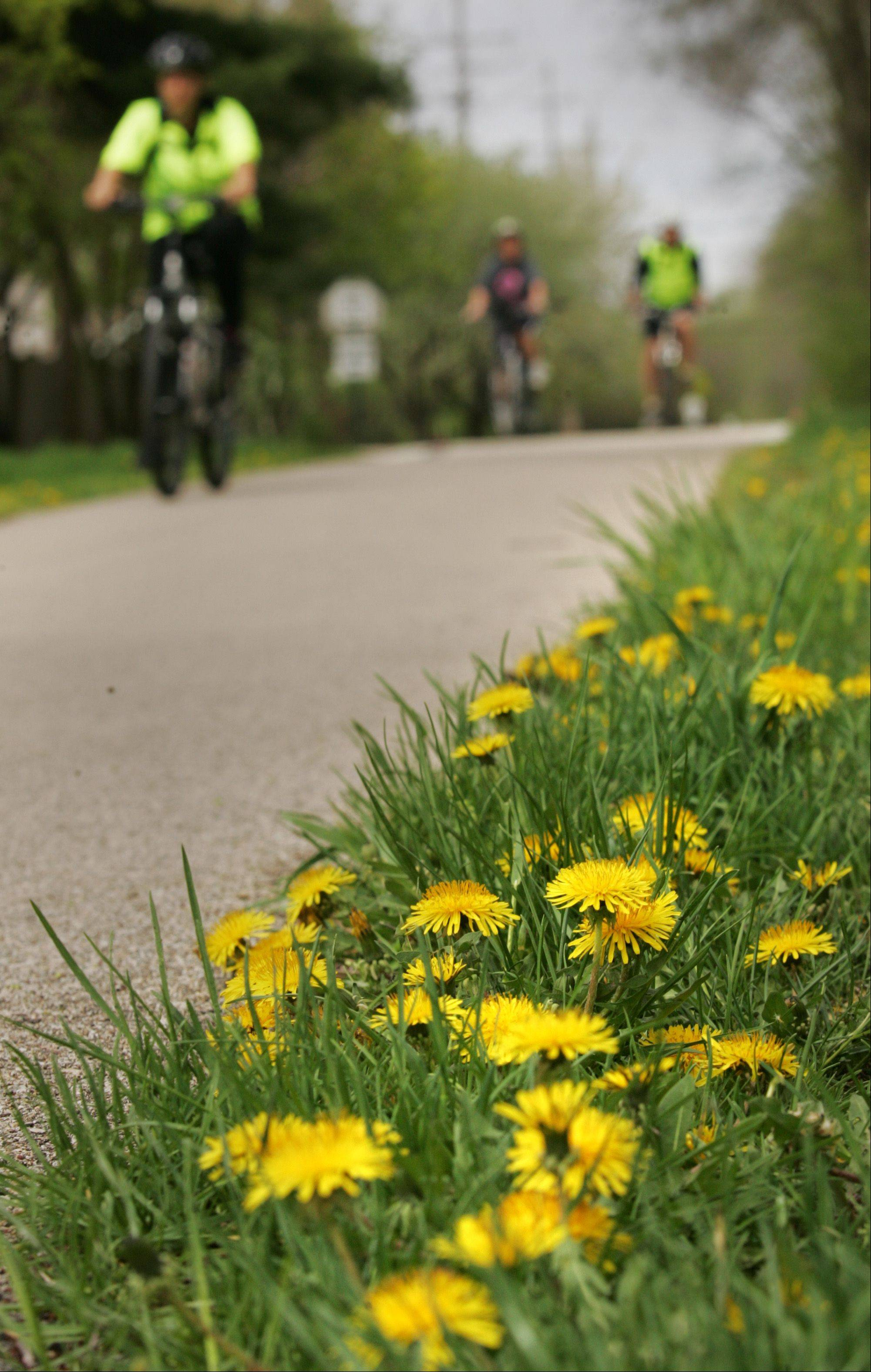 Cyclists pedal the Fox River Trail Monday morning in East Dundee, alongside scores of dandelions which have sprung this spring.