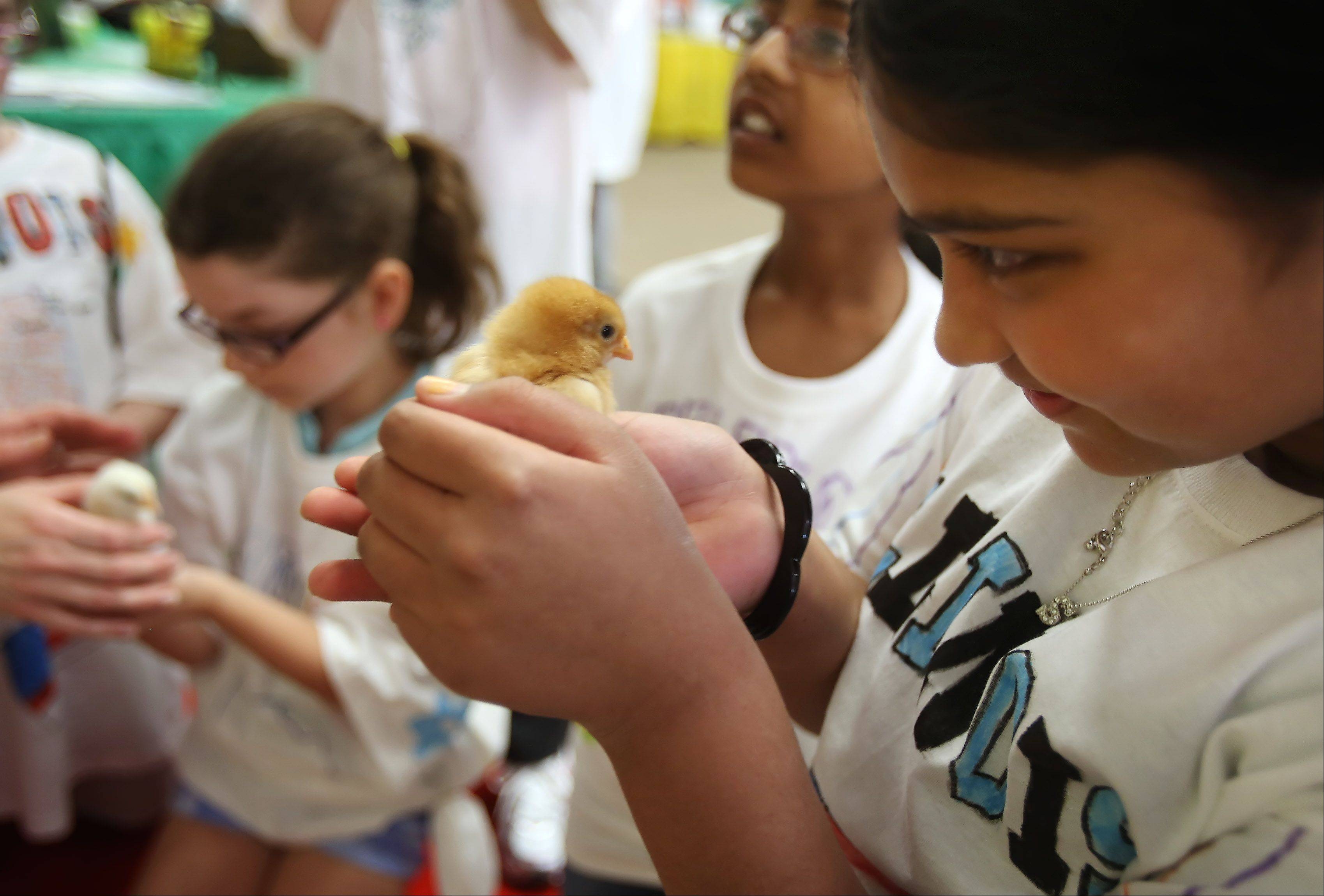 "Fourth grader Sneha Mohan, from Half Day School, holds a baby chick as fourth graders participate in ""Illinois Days and Illinois State Fair"" Wednesday at the Rivershire Park and Nature Center in Lincolnshire. Students learned about the state's agriculture, business and political environment in the simulated state fair."