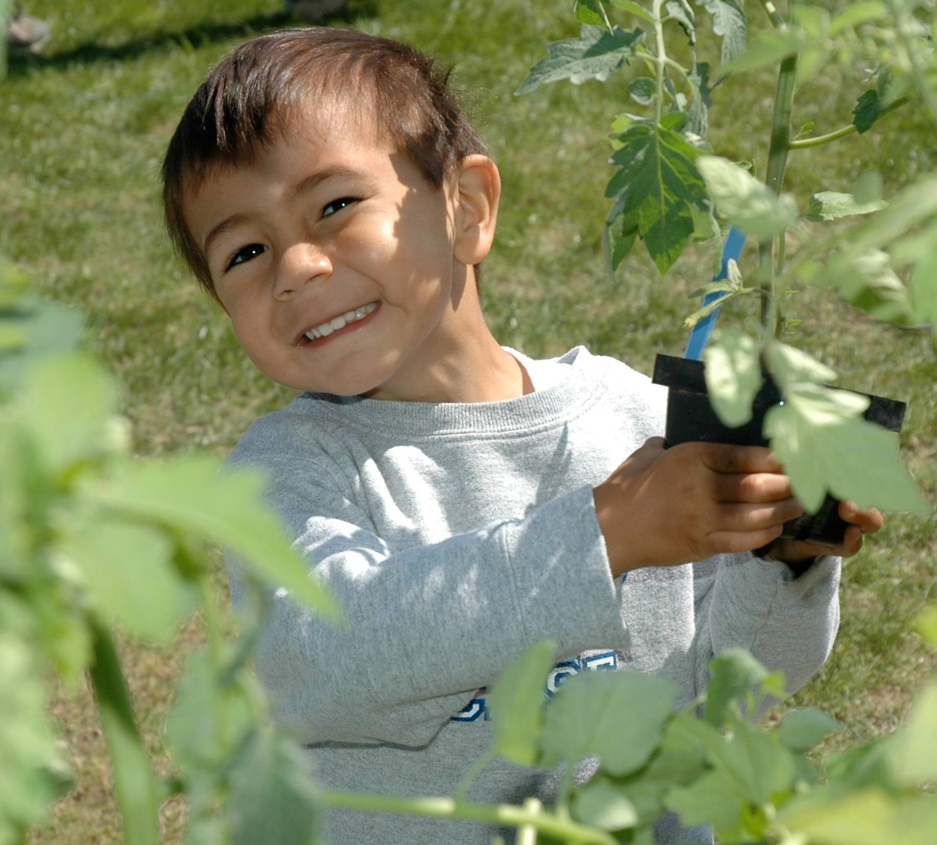 Nicholas Natarajan selects a tomato plant grown by the Prairie Crossing Learning Farm for his garden.