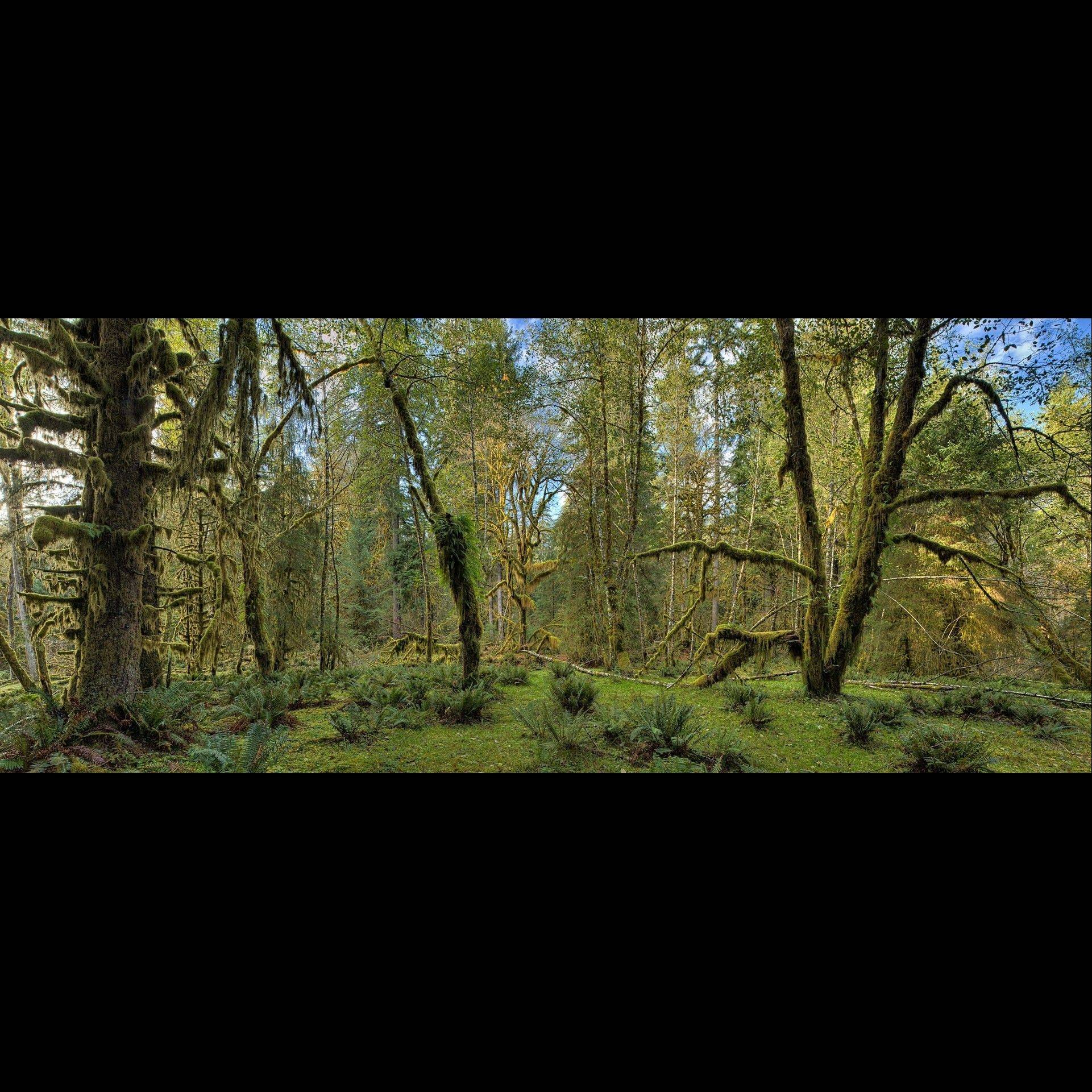 �Olympic Rain Forest� is a work by St. Charles fine art photographer John Rydin. Rydin�s work will be featured at the St. Charles Fine Art Show.