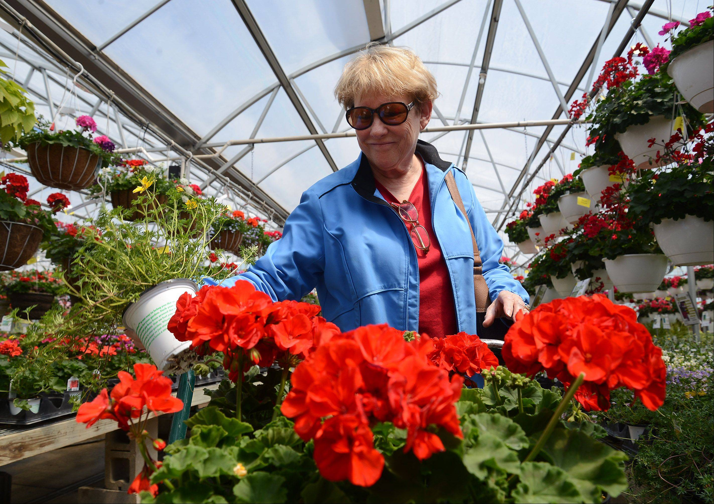 Shortly after Monday morning's frost melts away, Fae Littrell of Inverness picks out geraniums at Goebbert's Farm & Garden Center in South Barrington to plant now that temperatures are expected to shoot into the 80s.