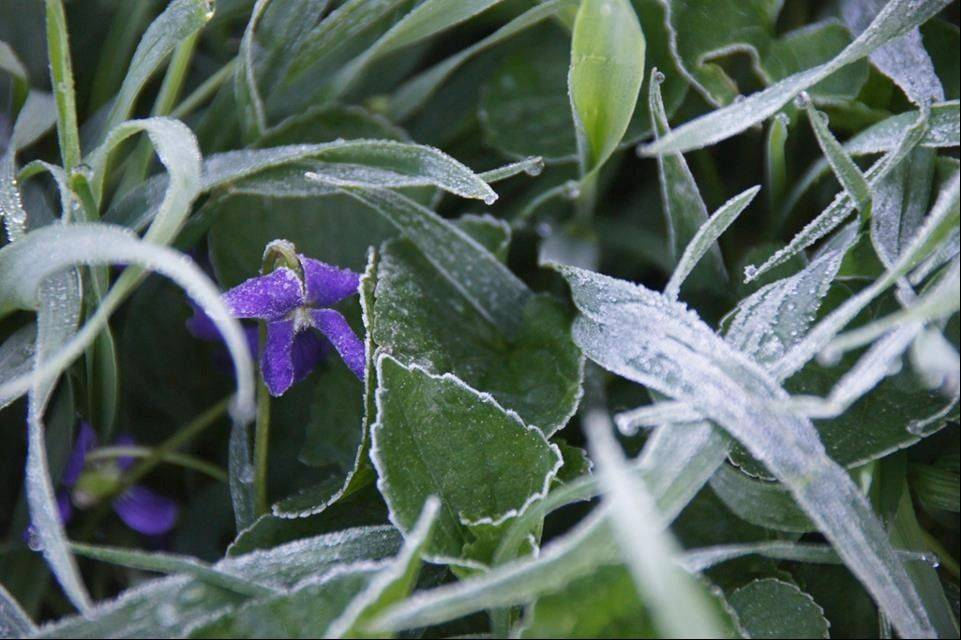 A light dusting of frost in Wauconda on Monday morning frames these violets, which should be hearty enough to survive the cold as well as today's temperatures expected to hit the mid to upper 80s.