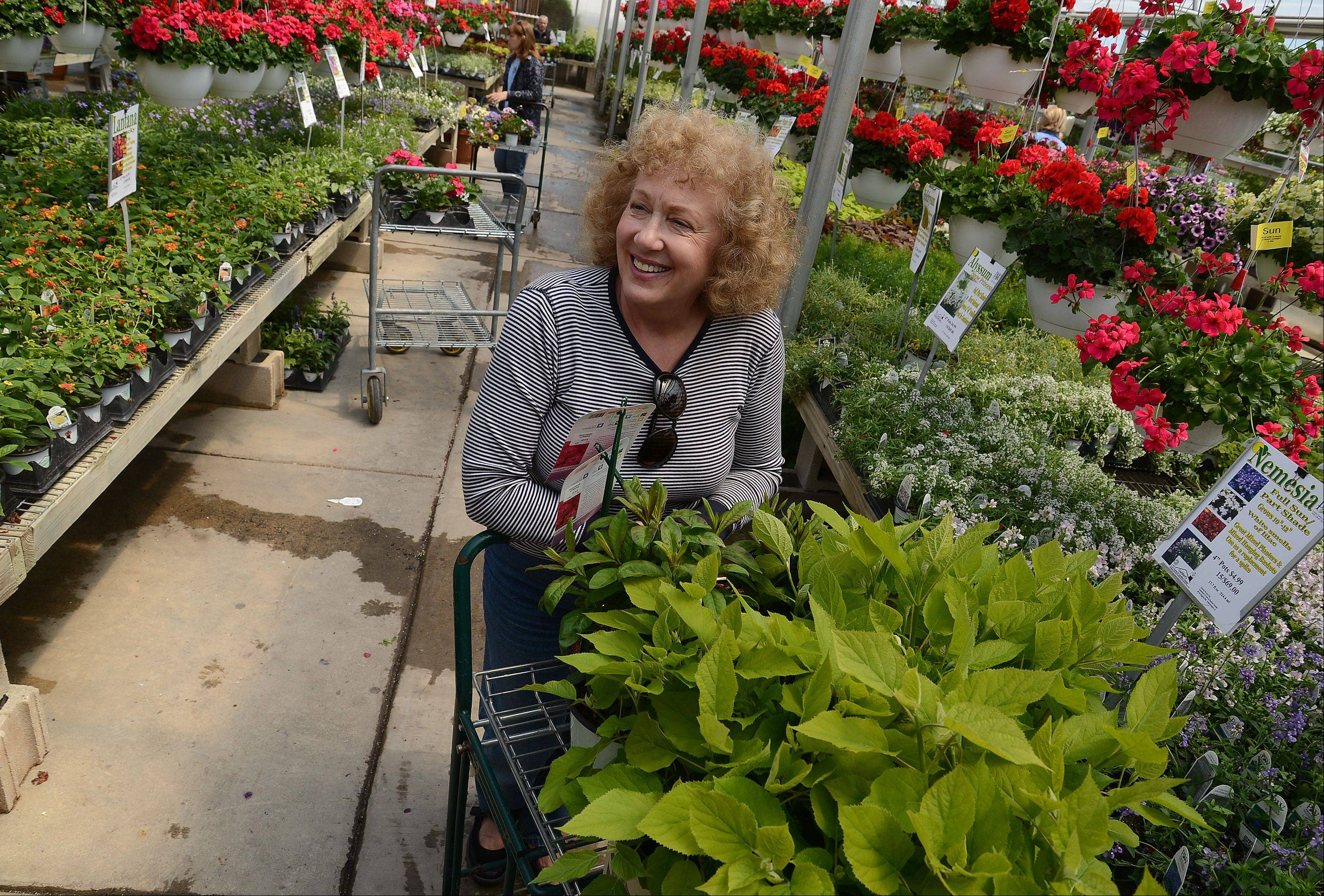 Today's warm-up is welcome news to gardener Doreen Kwasek of South Barrington, who stocks up on hydrangeas at Goebbert's Farm & Garden Center in South Barrington. While Mother's Day is a traditional planting day, Monday morning's frost forced gardeners to postpone their plantings.