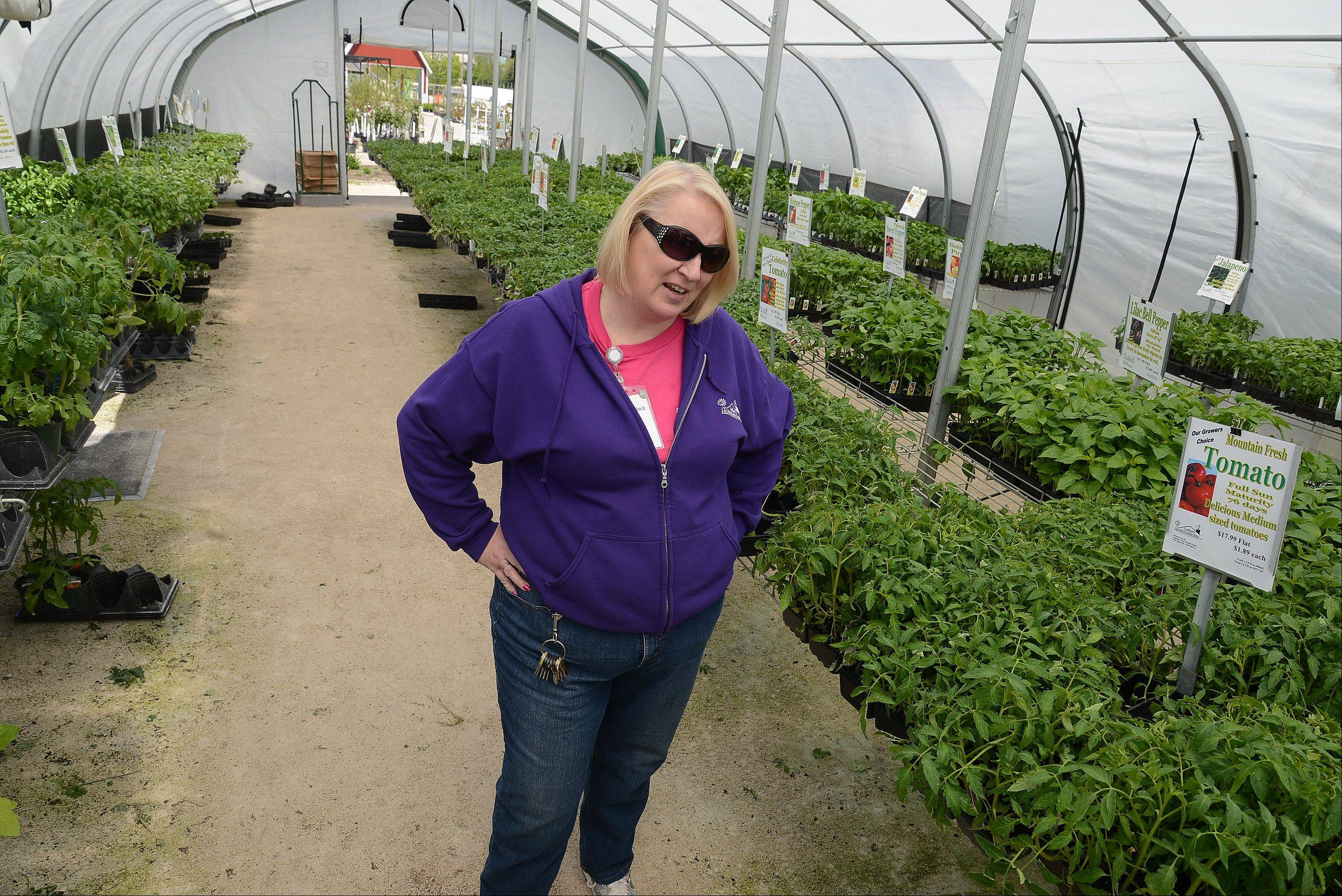 These sensitive tomato and pepper plants at Goebbert's Farm & Garden Center in South Barrington needed to be protected from Monday morning's frost, says manager Sue Murdock. Goebbert's staff brought plants inside or covered them with burlap bags as protection against the cold, but will open the greenhouse windows today as temperatures are expected to rocket into the 80s.