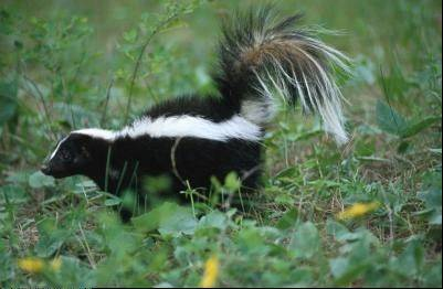 For the next few weeks, suburban skunks are busy giving birth to new litters of little stinkers.