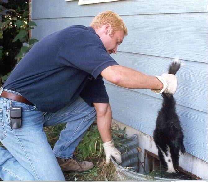 Tony Miltz of Animal Trackers Wildlife Co., headquartered in Hoffman Estates, removes a skunk from a window well.