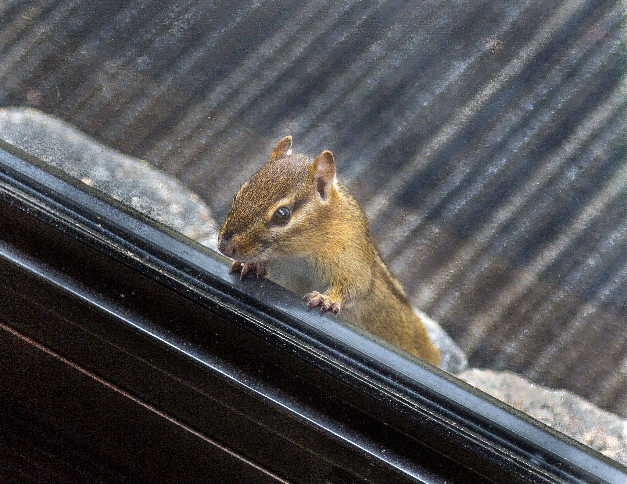 A chipmunk looks in the backdoor of an Ingleside house last month.
