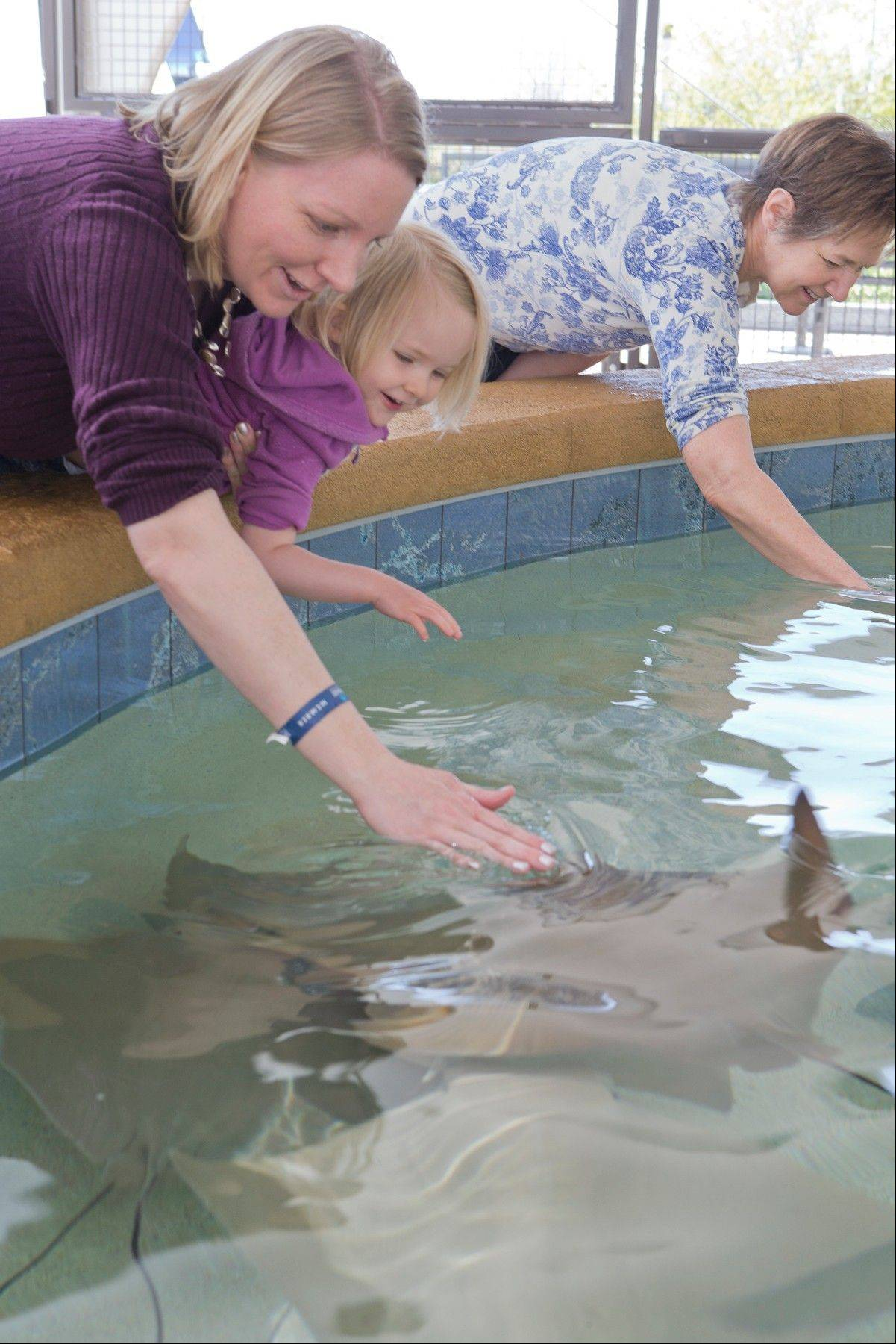 "Reach into the pool to pet stingrays at the Shedd Aquarium's new hands-on ""Stingray Touch"" exhibit."